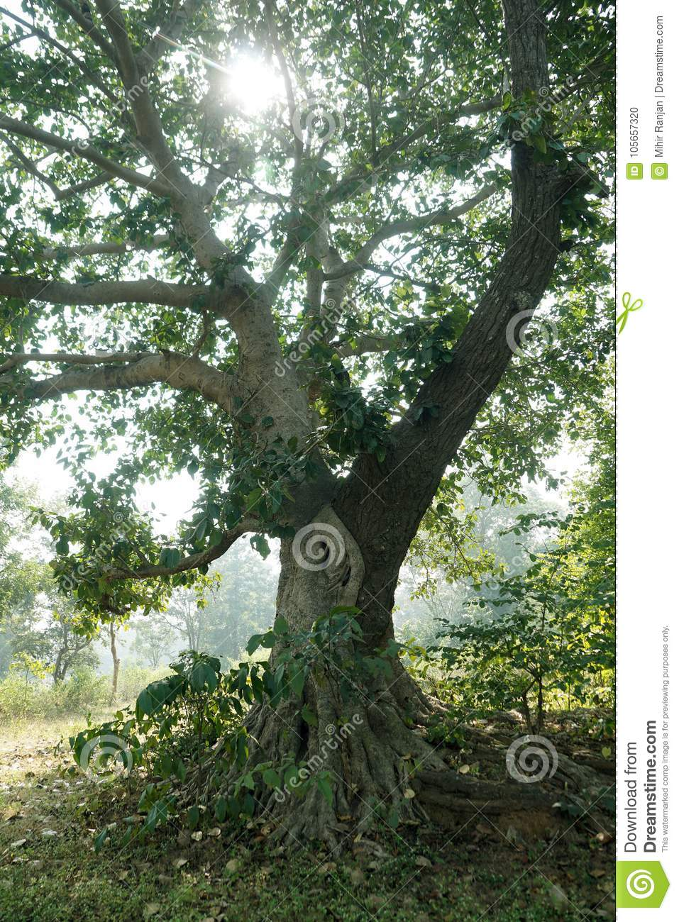 The image of natural grafting of two trees