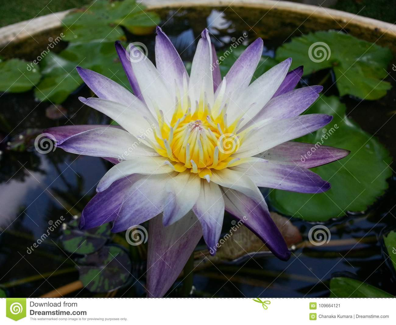 Natural mix color water lily flower of sri lanka stock image image natural mix color water lily flower of sri lanka izmirmasajfo Gallery