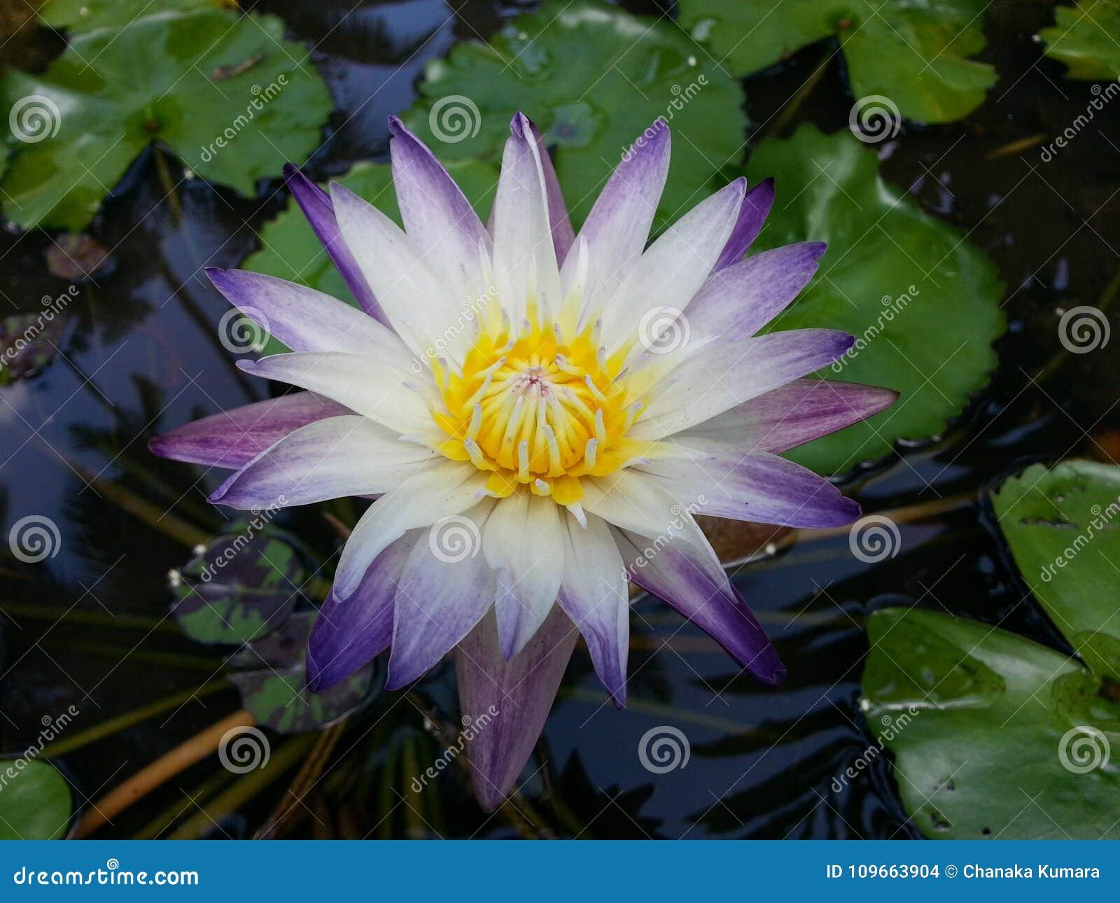 Natural mix white color water lily flower of sri lanka stock photo royalty free stock photo izmirmasajfo