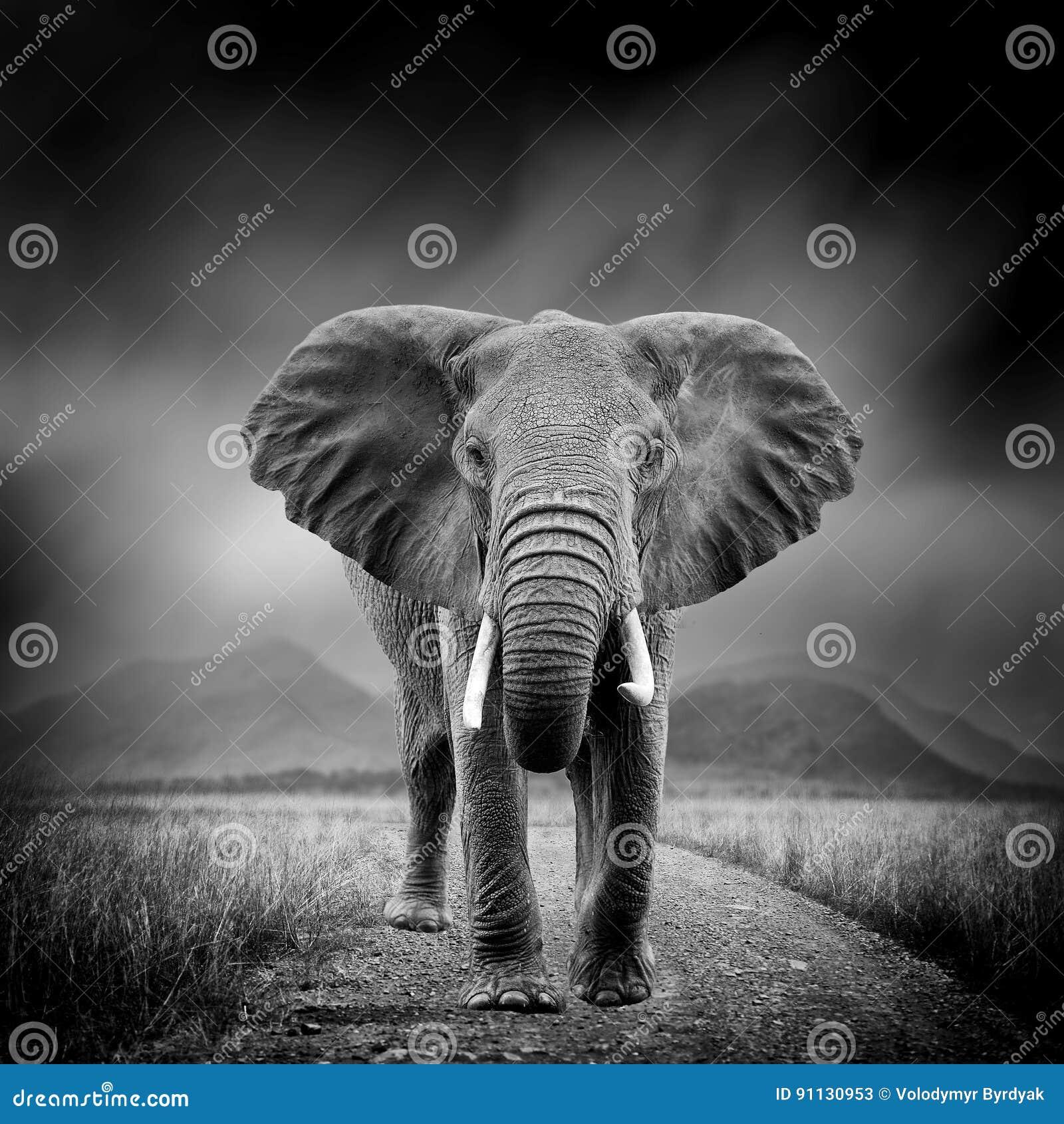 Image noire et blanche d un éléphant