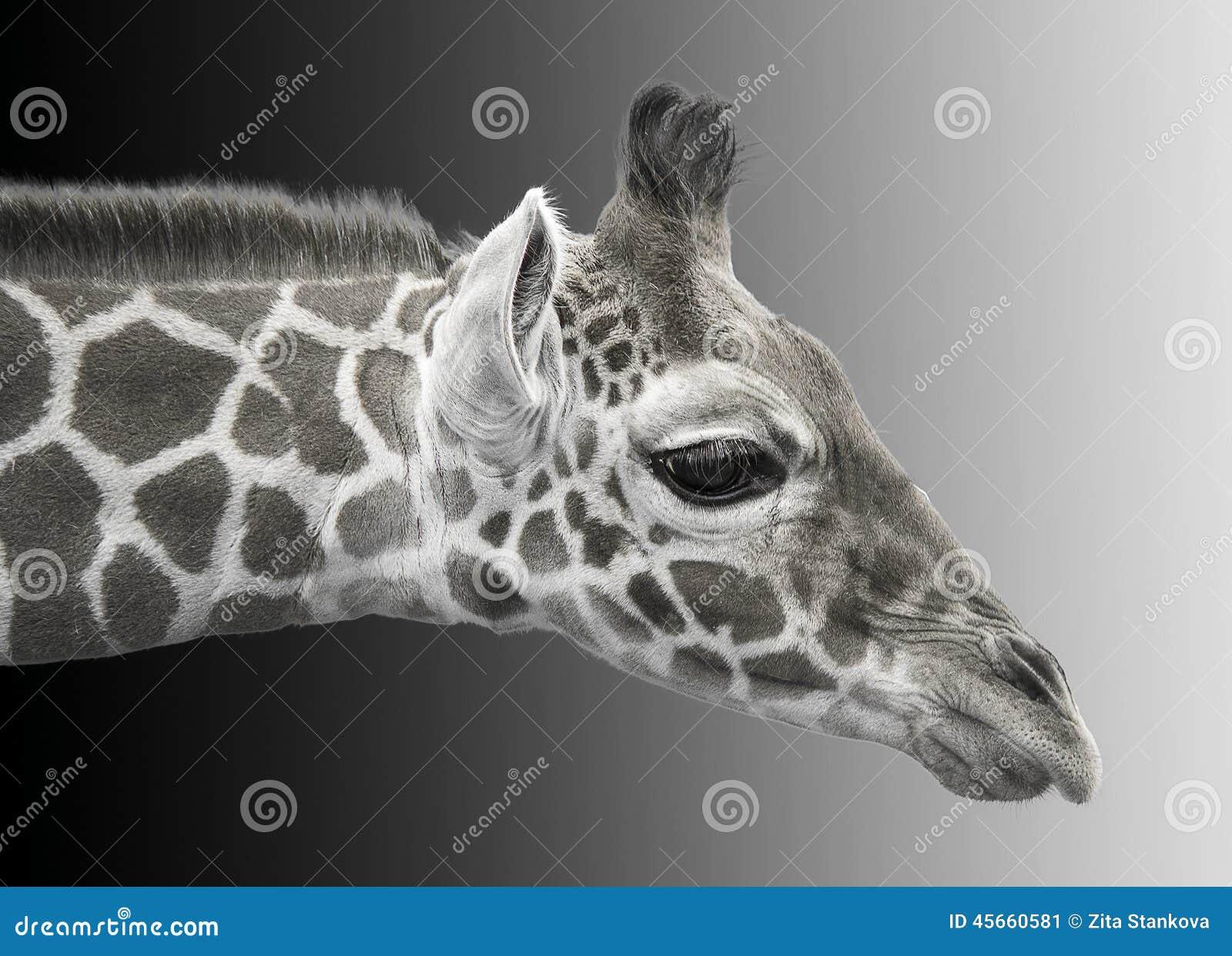 Image noire et blanche d 39 une jeune girafe image stock for Prix d une girafe a poncer