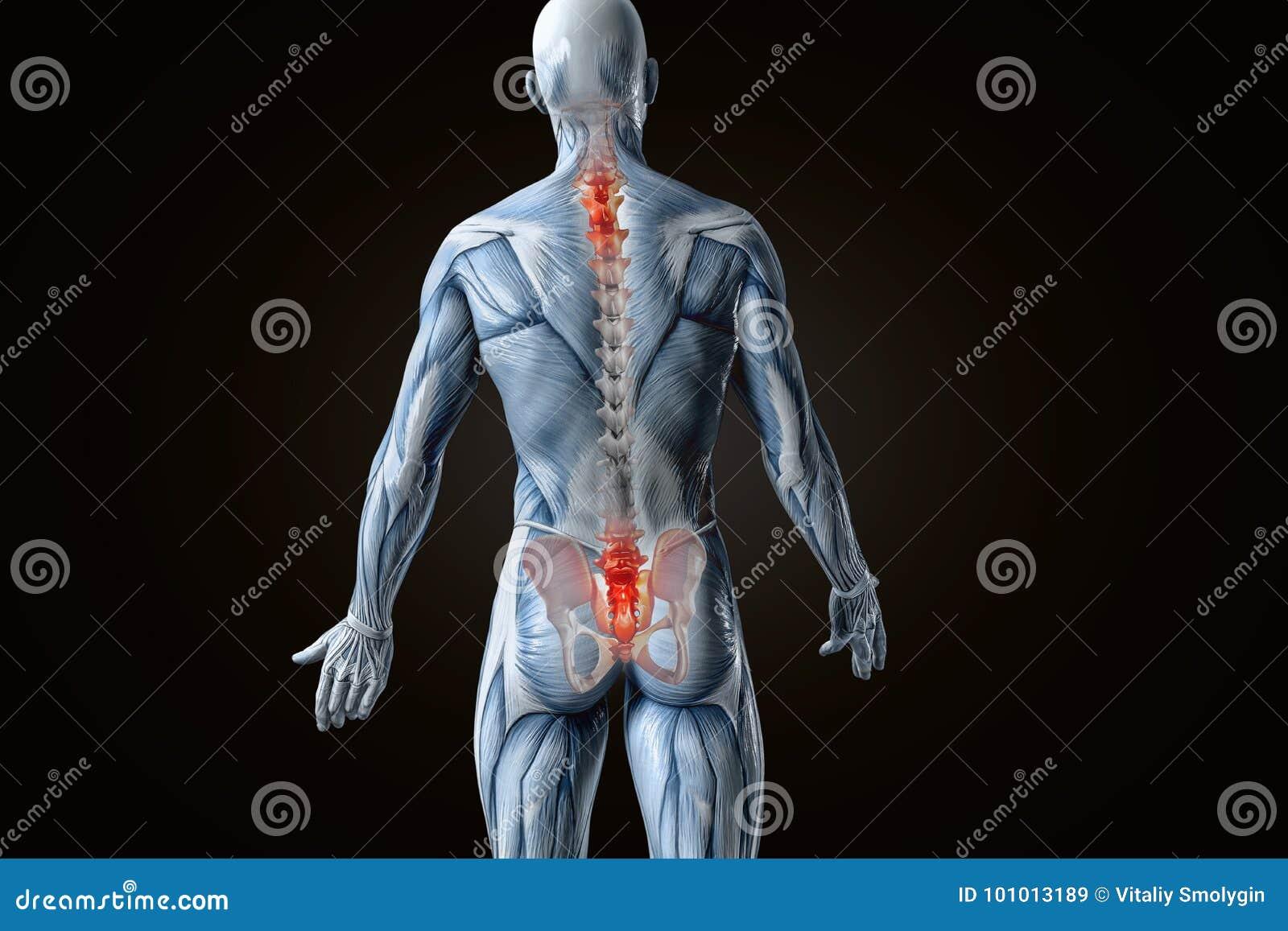 Anatomical Vision Back Pain. 3D Illustration. Stock Illustration ...