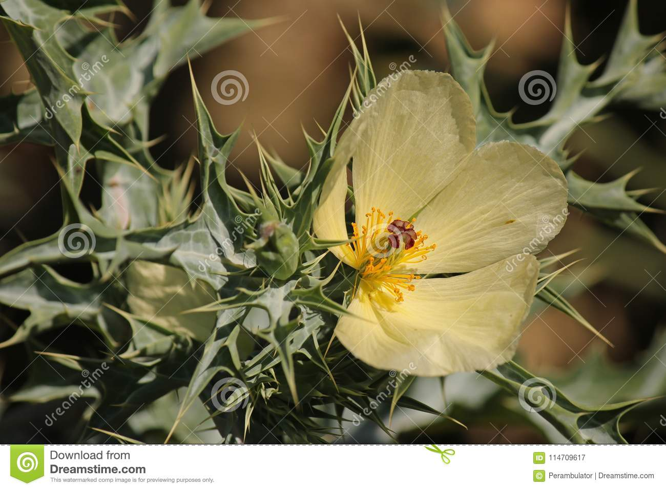 Partial Flower On Mexican Poppy Weed Stock Image Image Of Colours