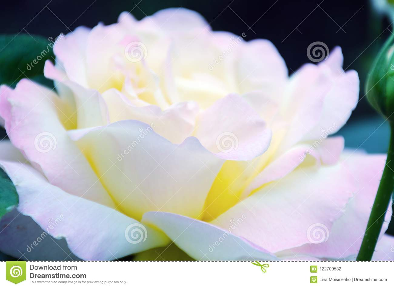 Image with shallow depth of focus - blooming pink rose, gentle petals close up.