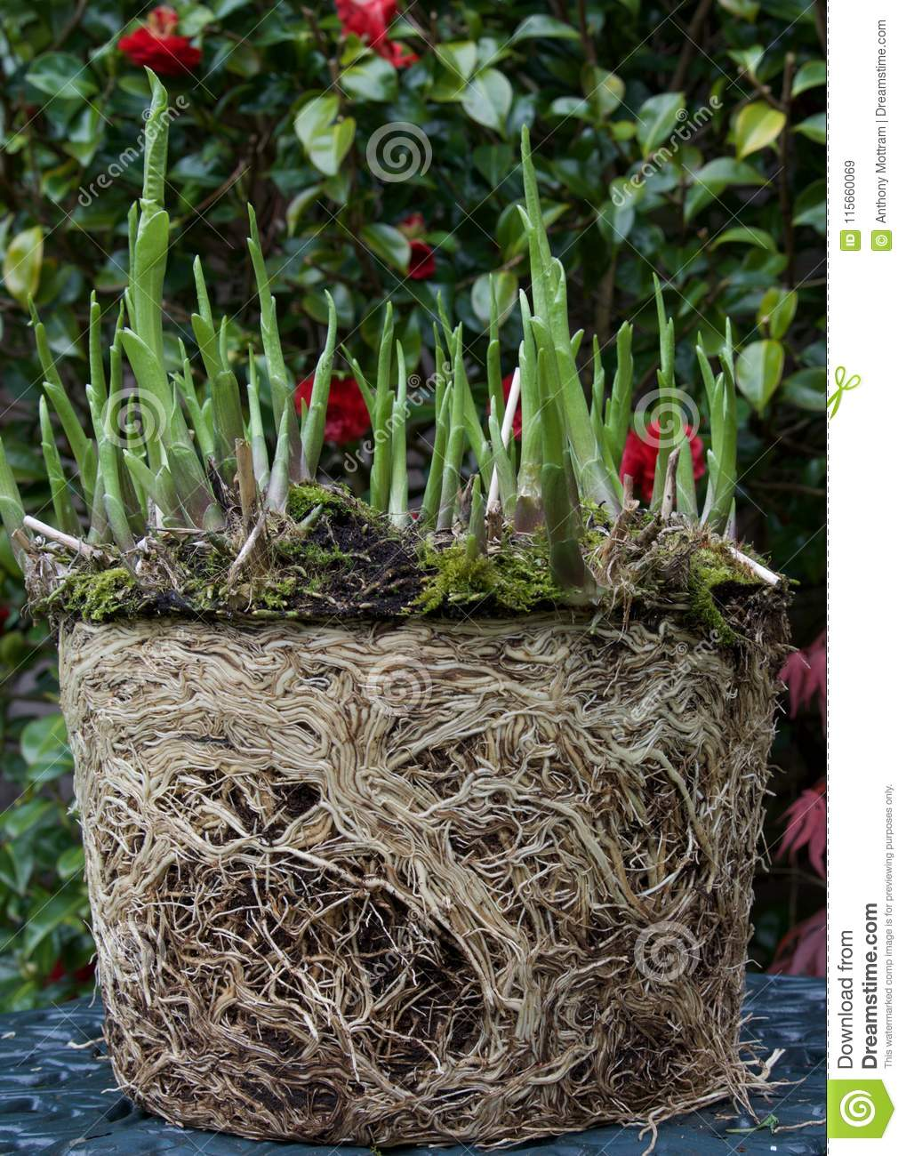 Hosta And Roots Stock Image Image Of Britain British 115660069