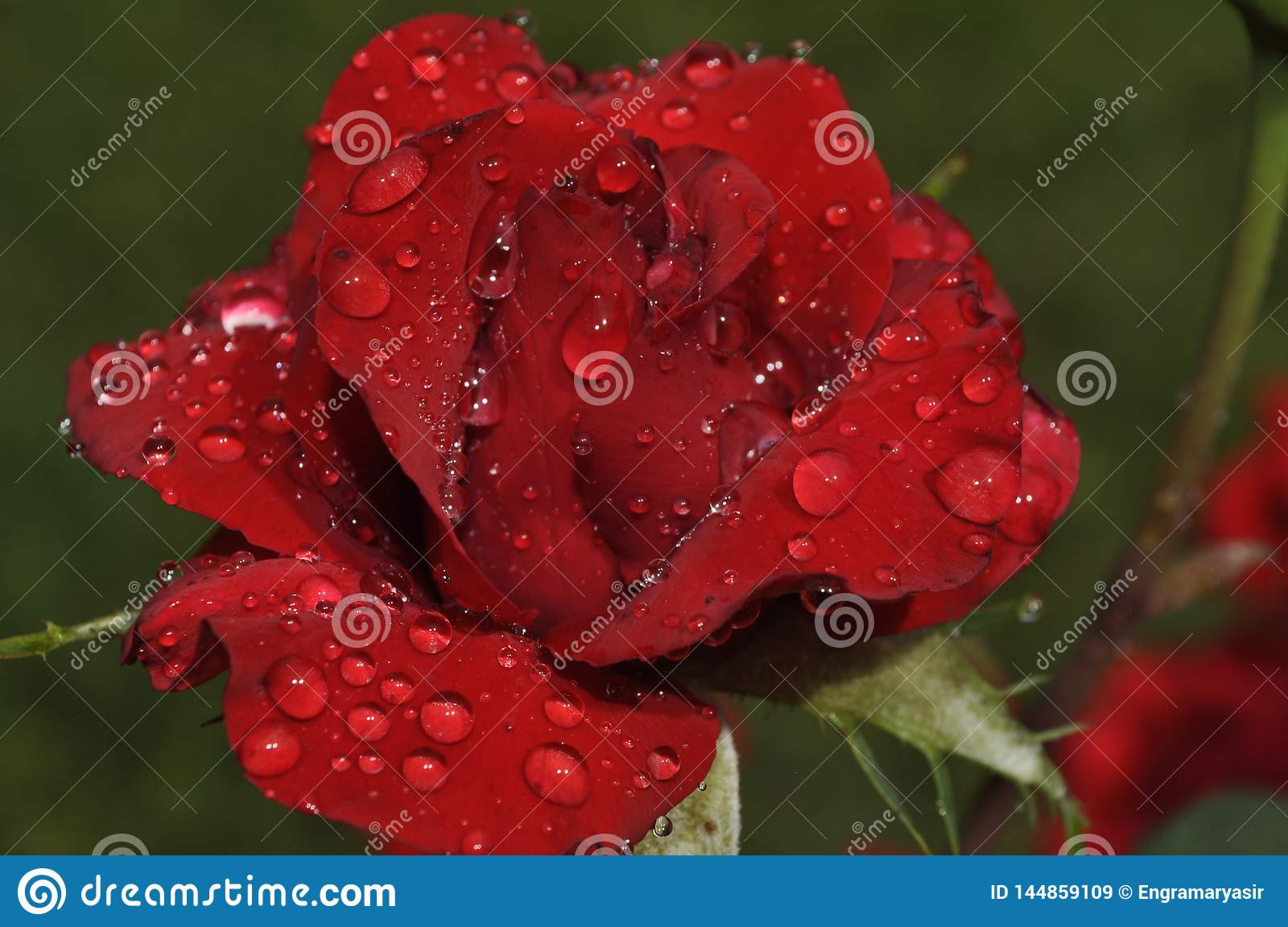 Appealing red rose in fresh dew drops