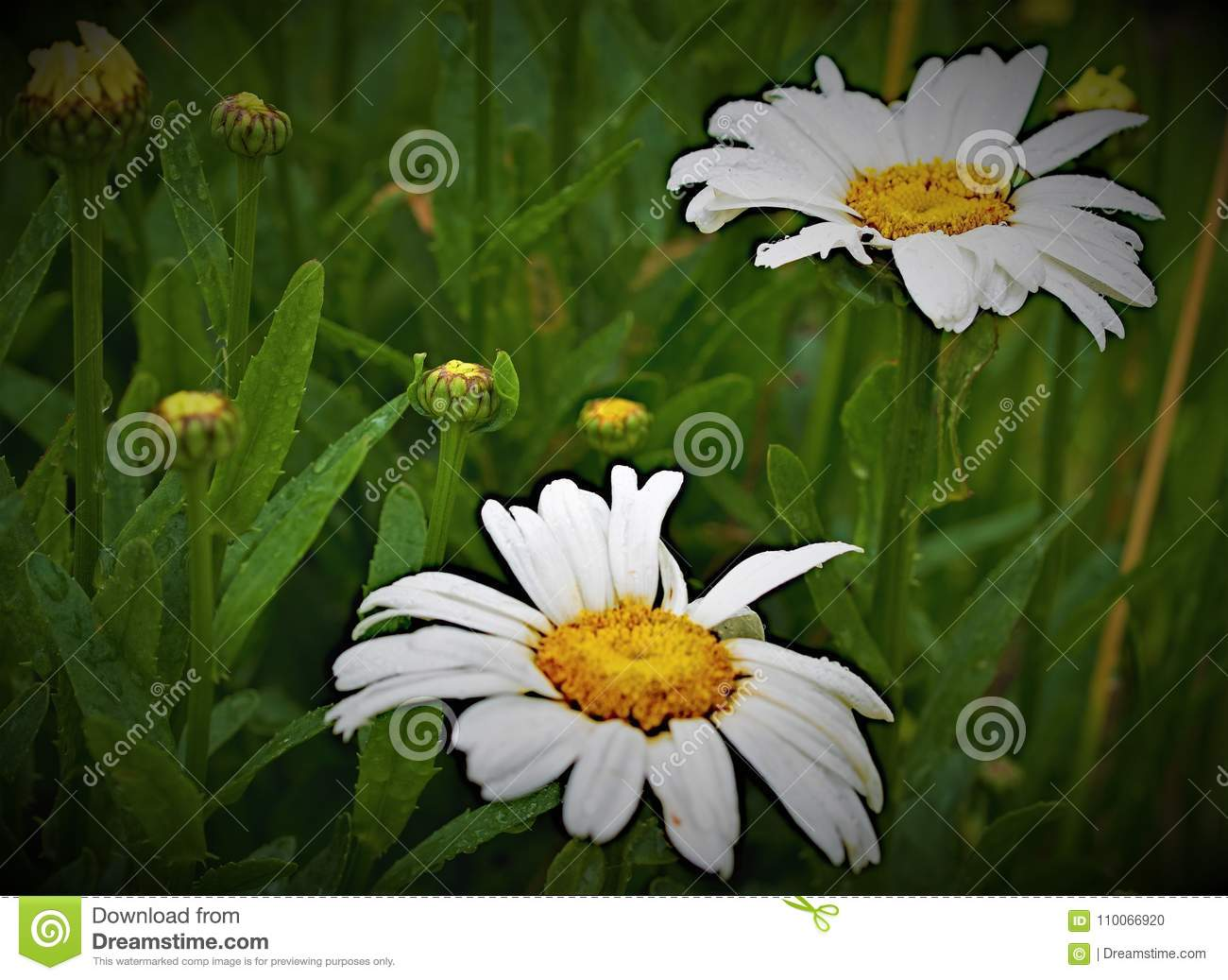 Daisy double in dew with others due stock photo image of daisy double in dew with others due izmirmasajfo