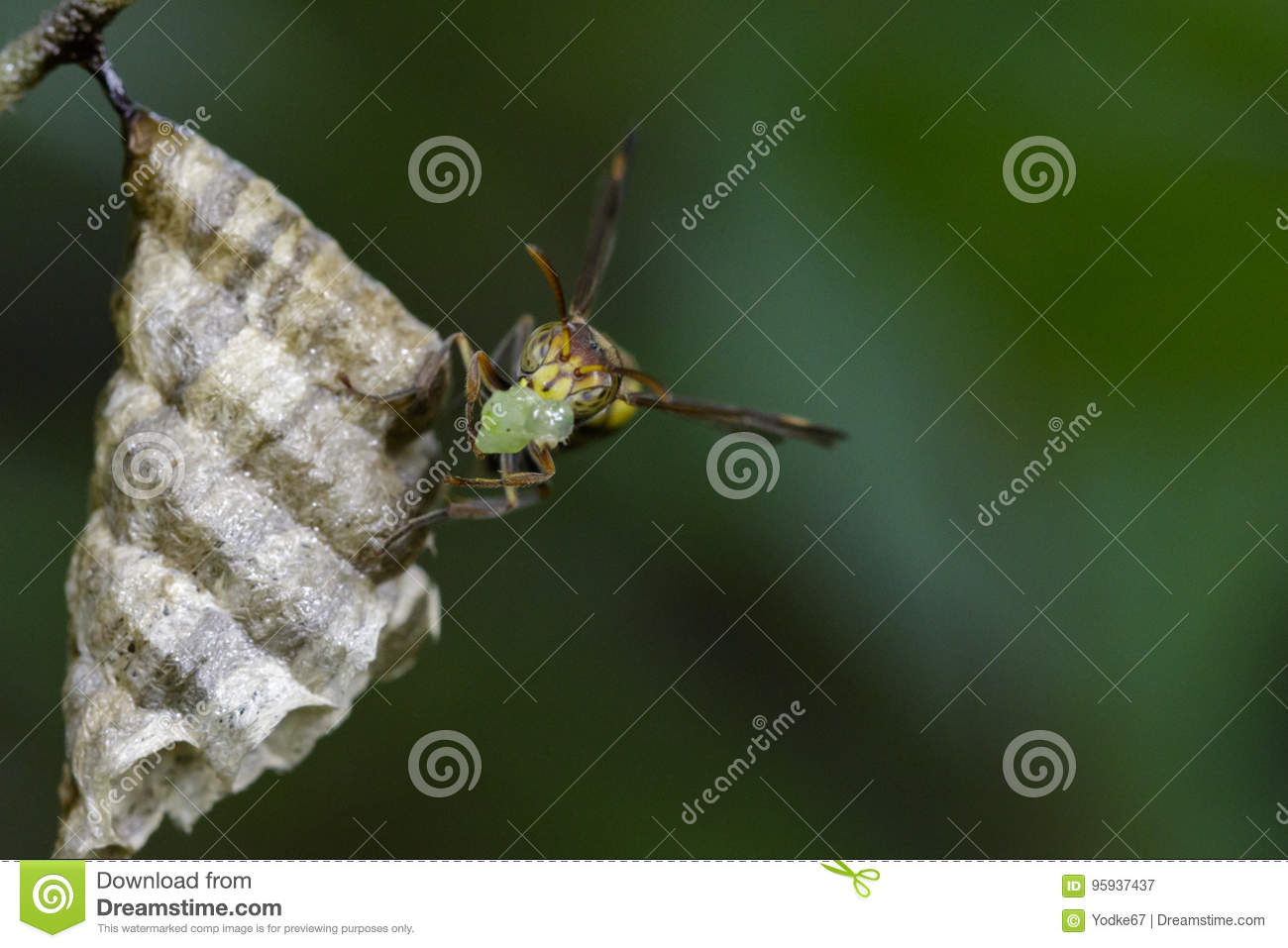 Image Of A Small Brown Paper Wasp Stock Lidia Butterfly Download