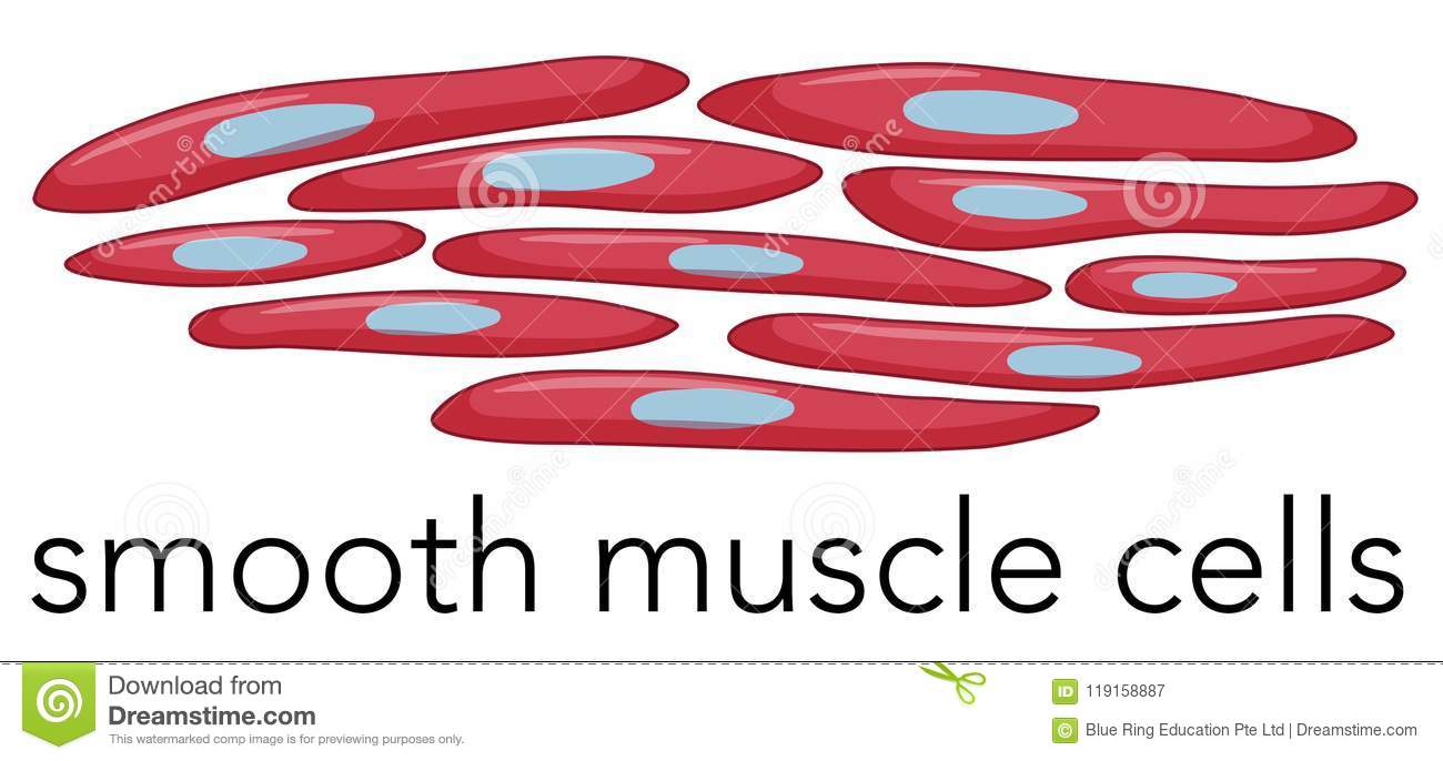 Image Of Smooth Muscle Cells Stock Vector Illustration Of Clinic