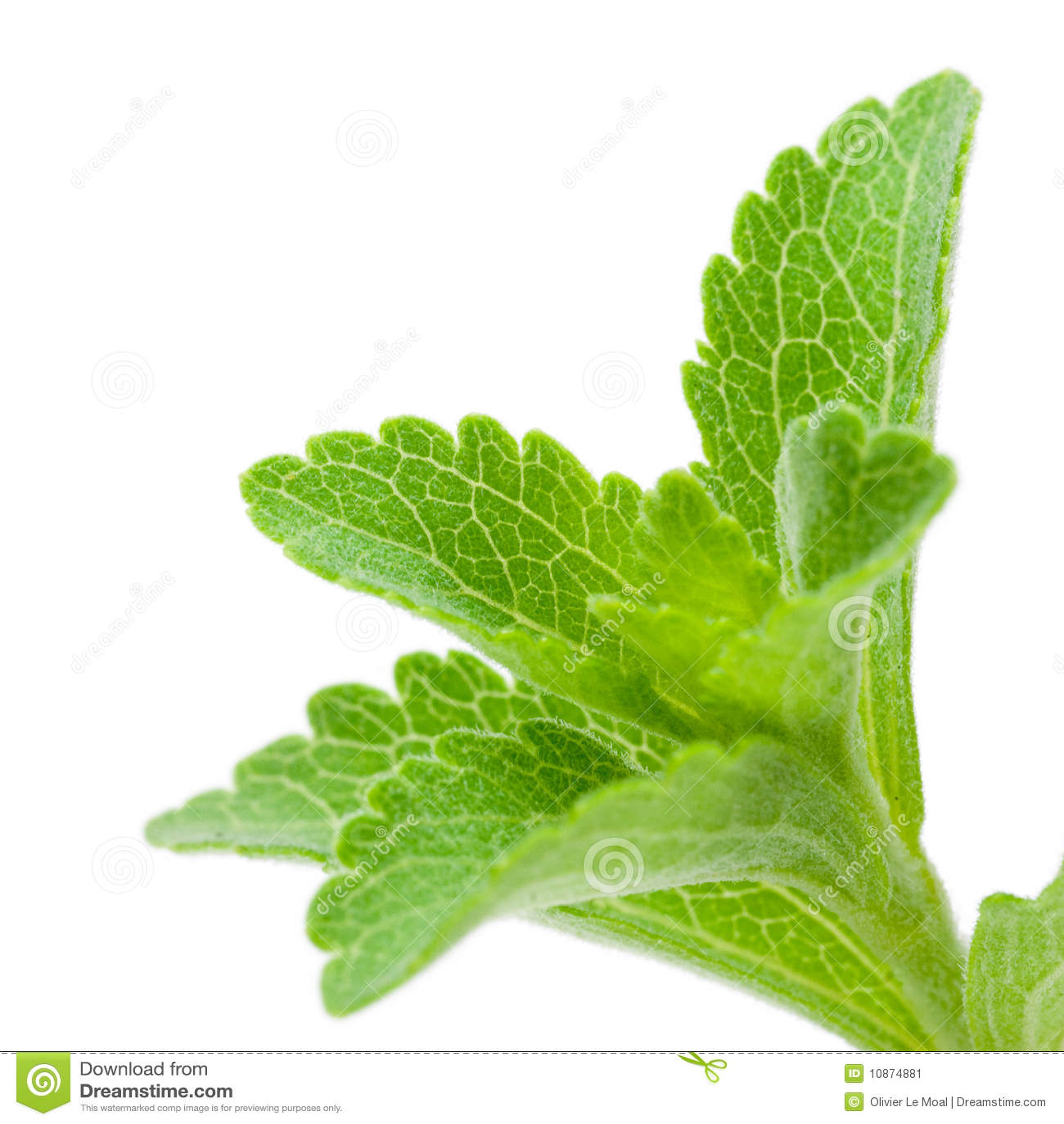 image of stevia rebaudiana stock image image 10874881. Black Bedroom Furniture Sets. Home Design Ideas