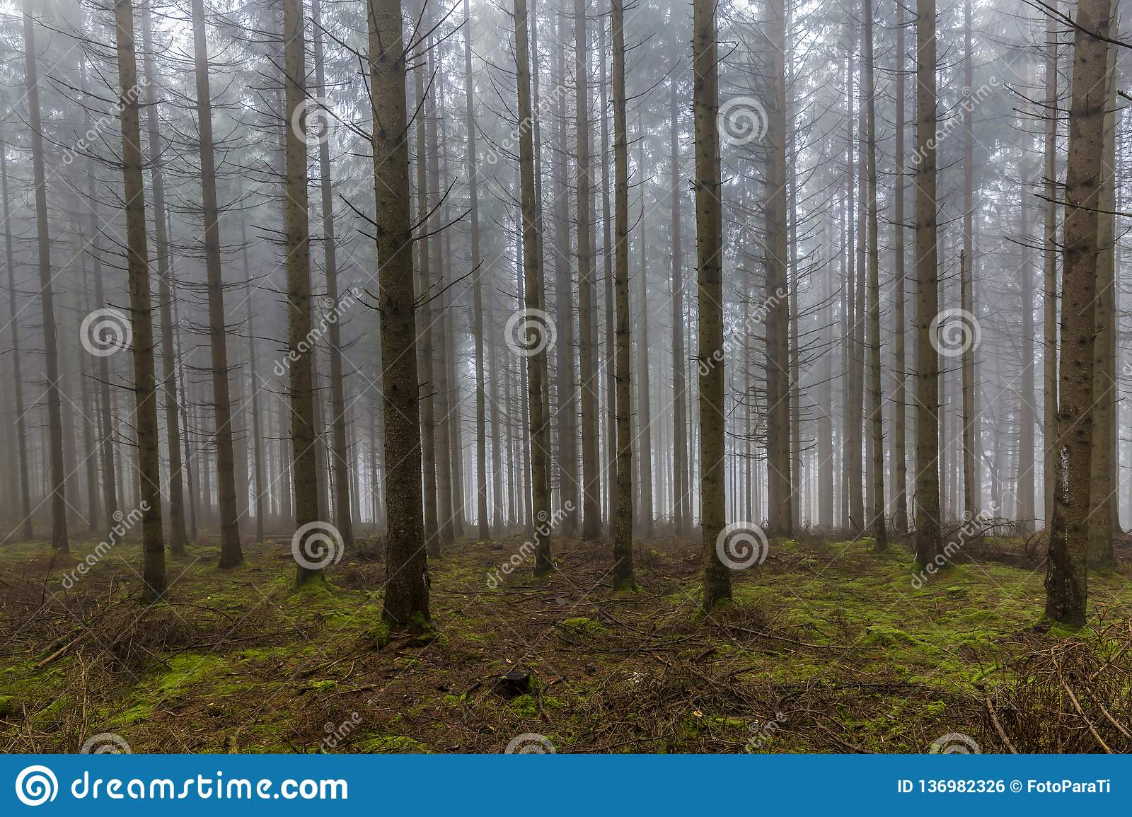 Image of tall pine trees in the forest with moss and branches on the ground with a lot of fog