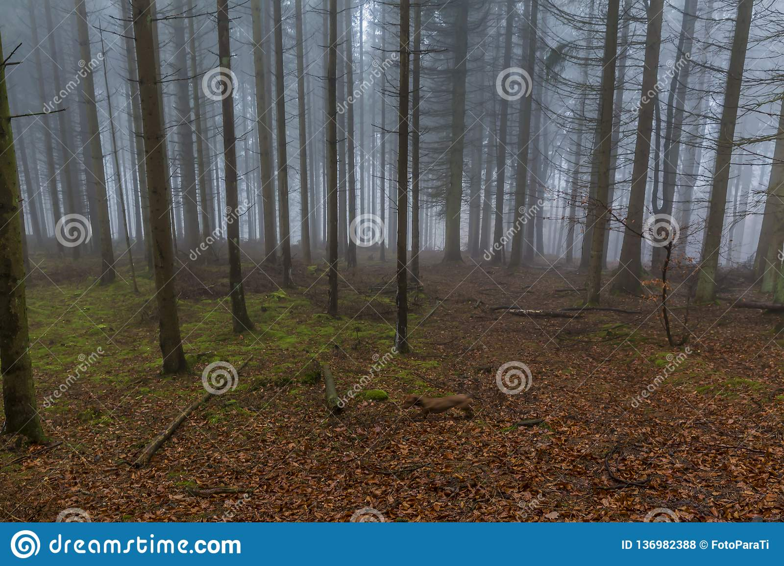 Image of tall pine trees in the forest with moss and leaves on the ground with a lot of fog