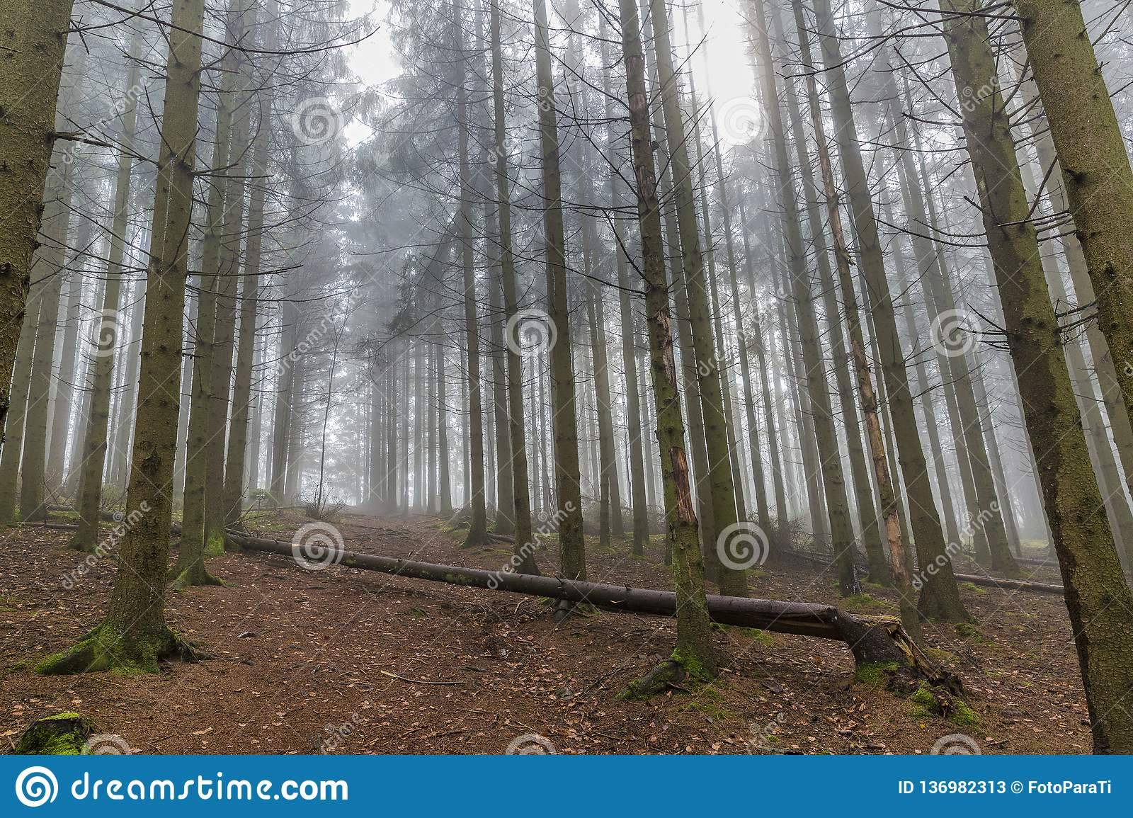 Image of tall pine trees from a lower perspective in the forest