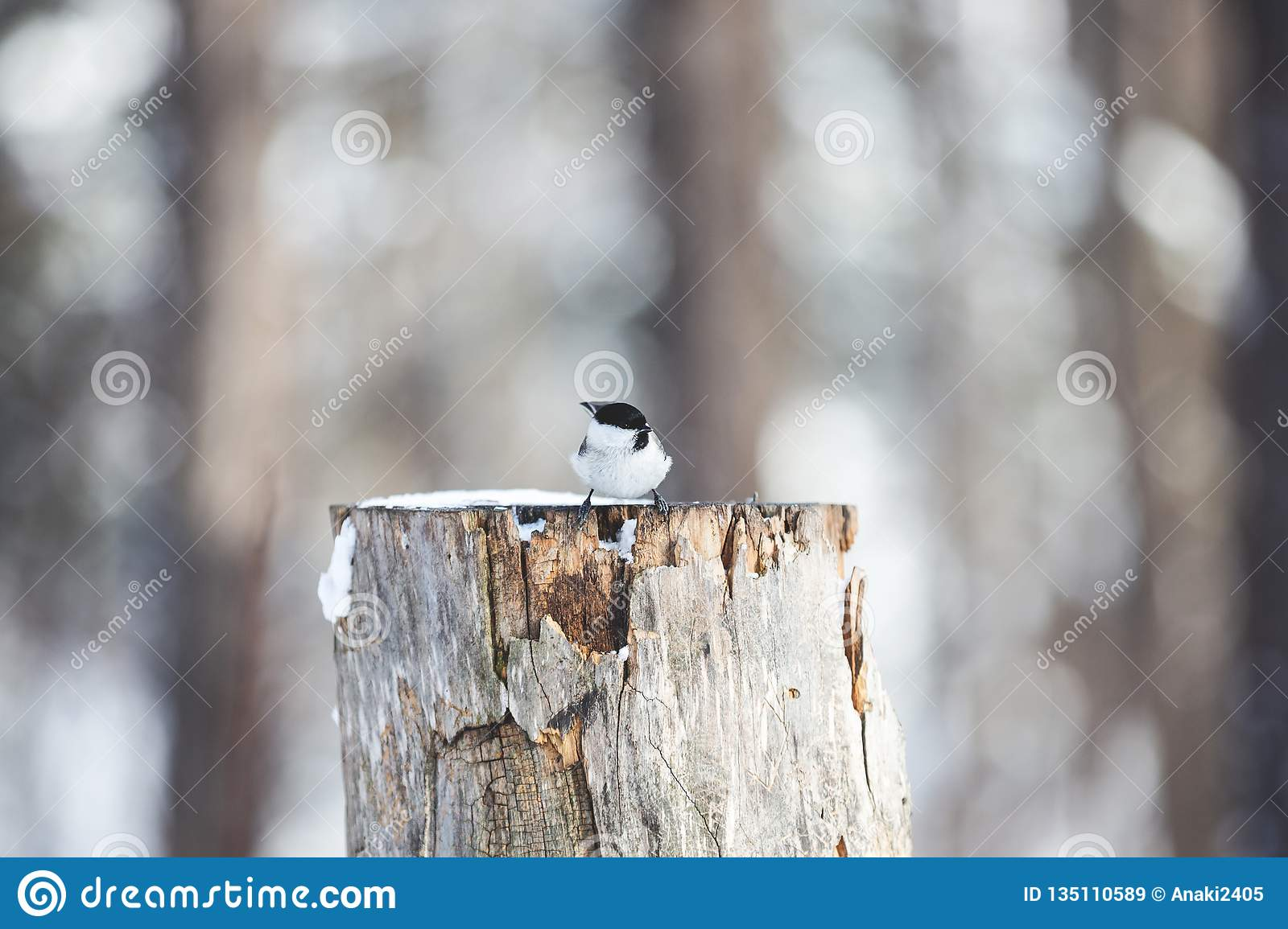 Image of tiny bird Marsh Tit or Poecile palustris sitting on the stump and pecking seeds in the winter forest
