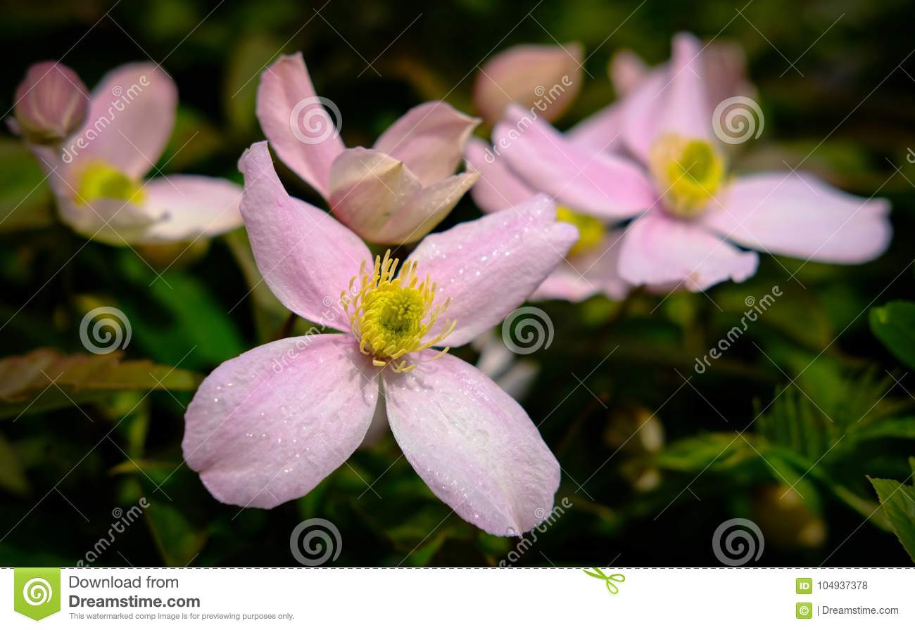 Close Up For A Group Of Delicate Pink Flowers Seen After A