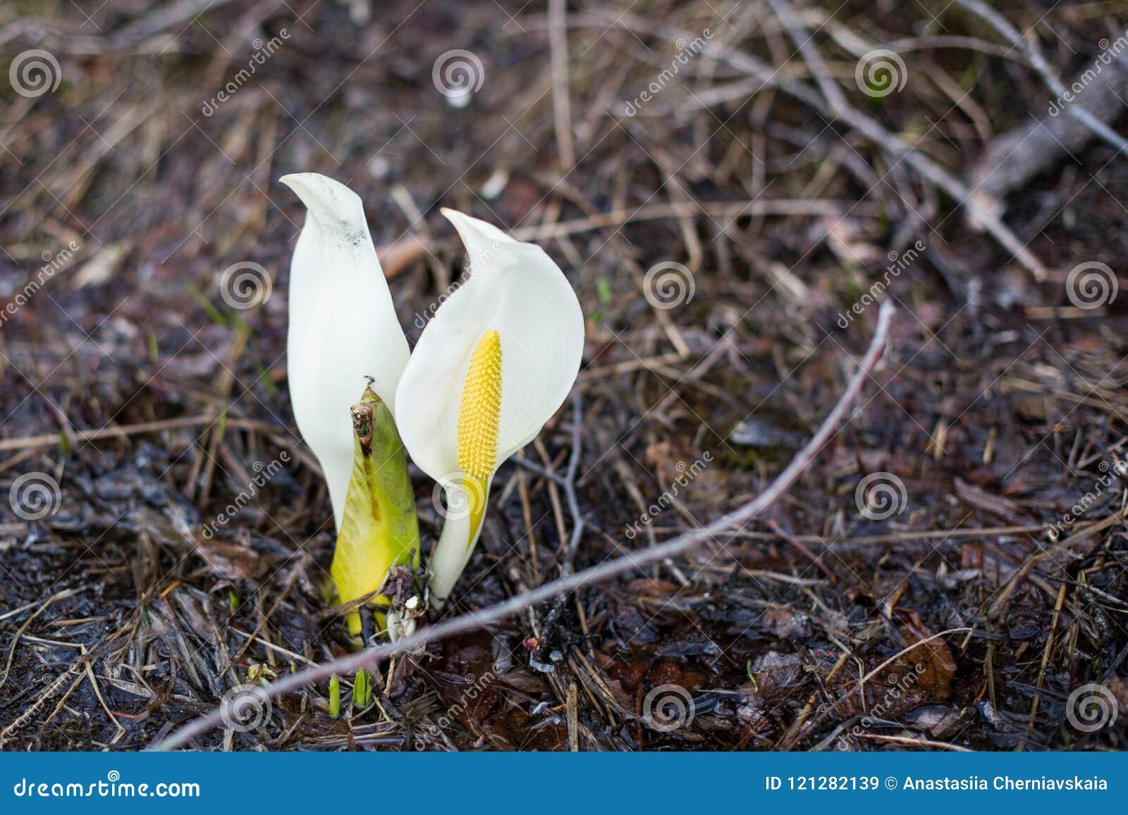 Image of wild poisonous white flowers called calla palustris in download image of wild poisonous white flowers called calla palustris in spring season stock image mightylinksfo