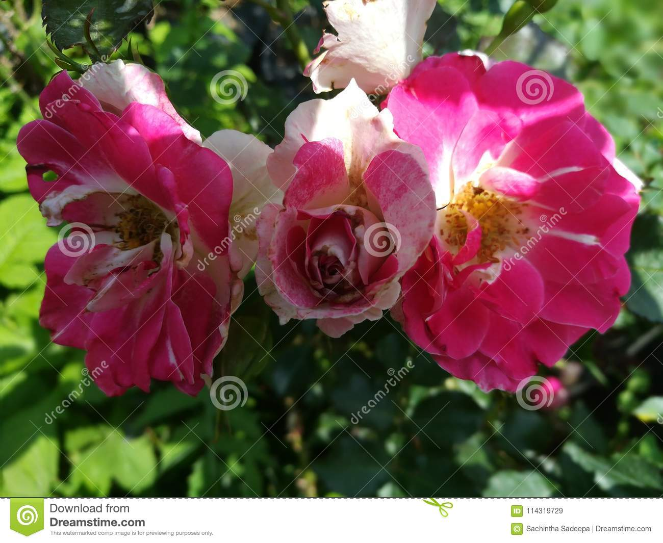 World Most Beautiful Flowers Stock Image Image Of Rose Image