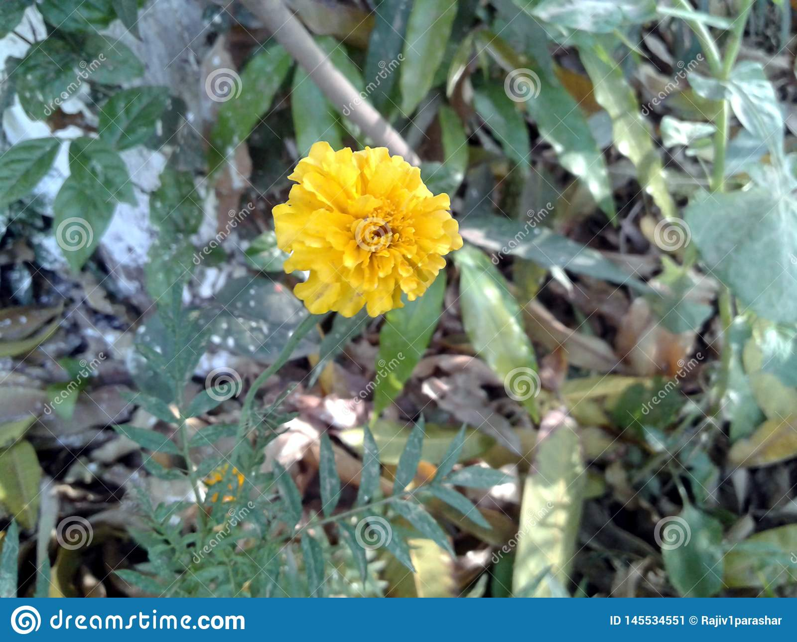 This is the image of yellow one marigold flower  with green leafs