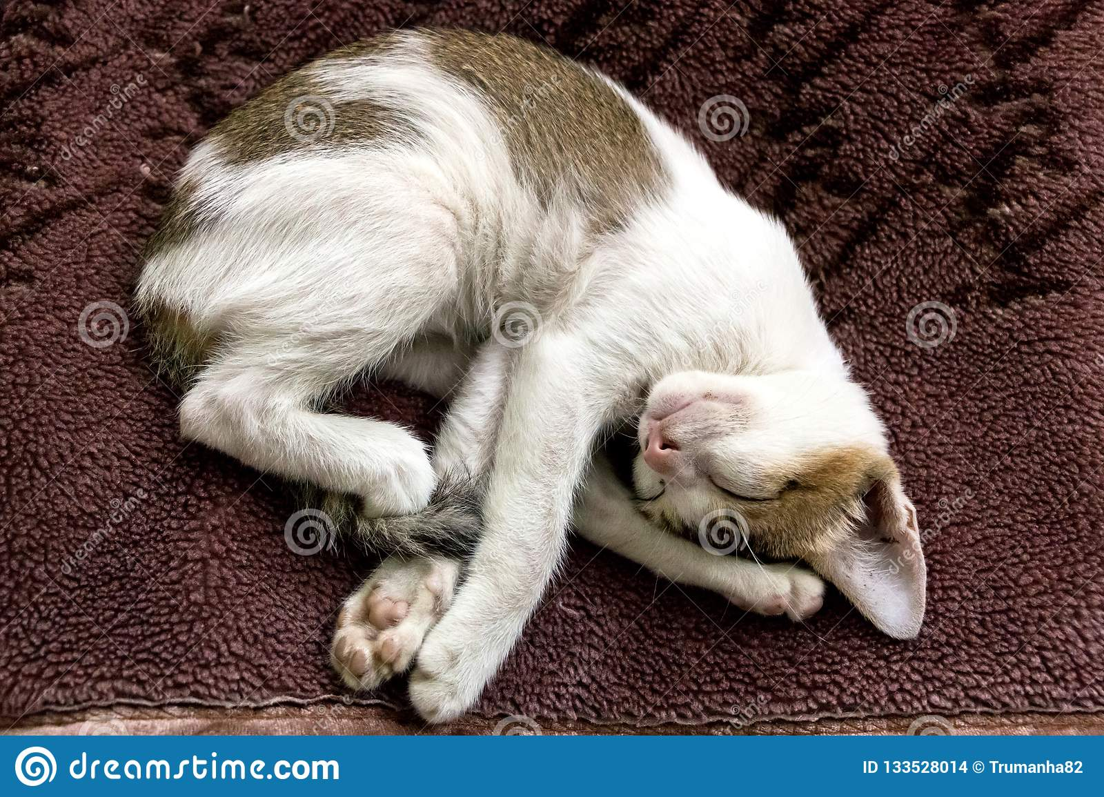Image of a young Calico cat posing a funny position while sleeping on a brown velvet blanket.