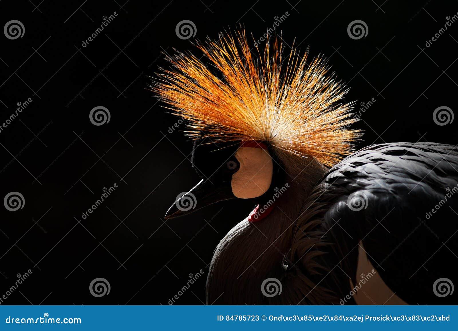 Imagem da arte do pássaro O cinza coroou o guindaste, regulorum de Balearica, com fundo escuro Cabeça do pássaro com crista do ou