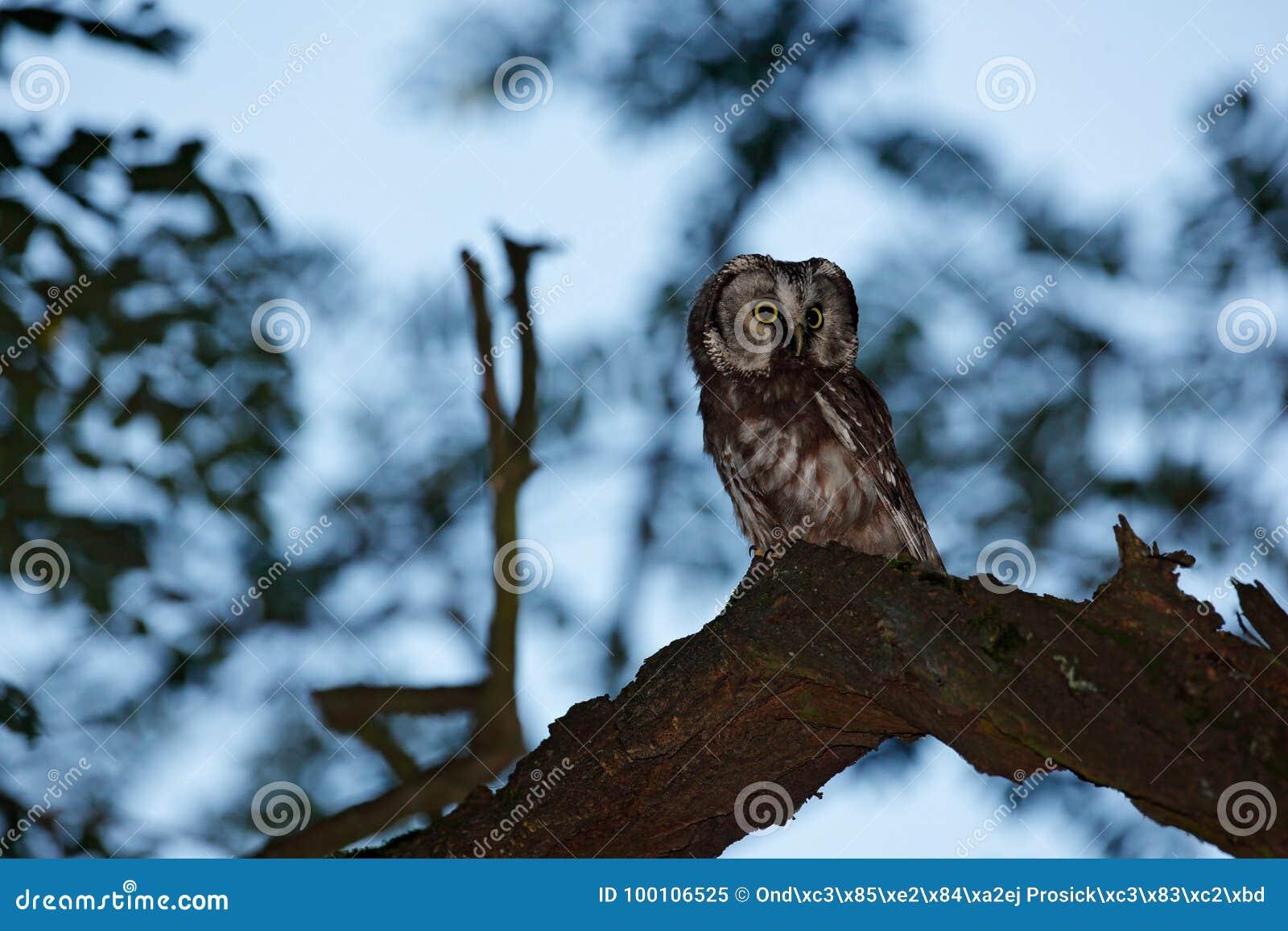 Imagem da coruja de noite Pássaro pequeno na madeira Coruja boreal, funereus de Aegolius, sentando-se no ramo de árvore no fundo