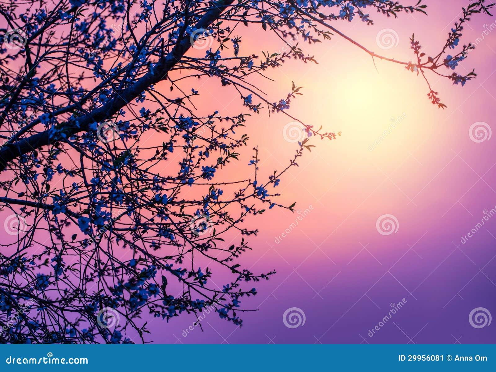 Flor de cerejeira sobre o por do sol roxo