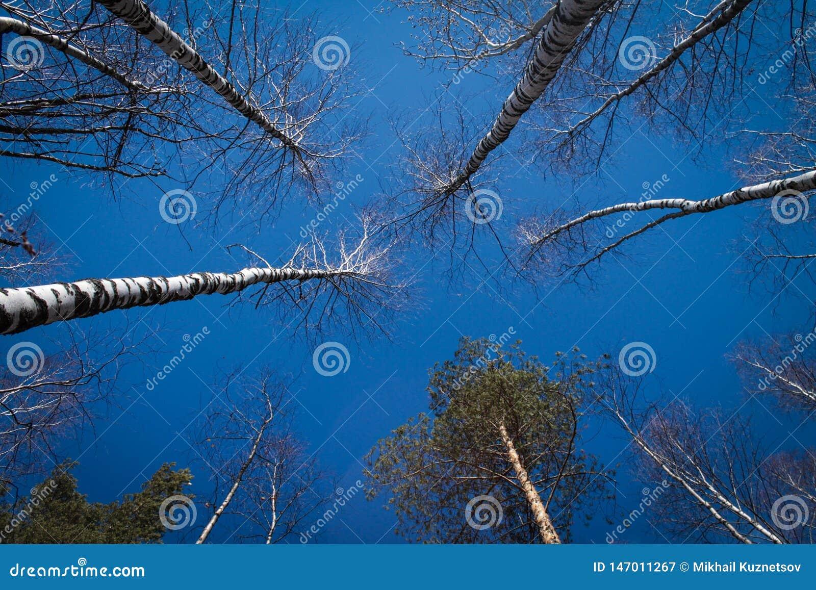 Imagem das ?rvores sem as folhas com o c?u azul de cristal sem nuvens