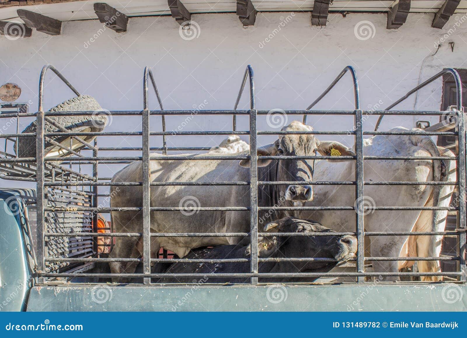 Imagem das vacas do brahman travadas em uma camionete da carga