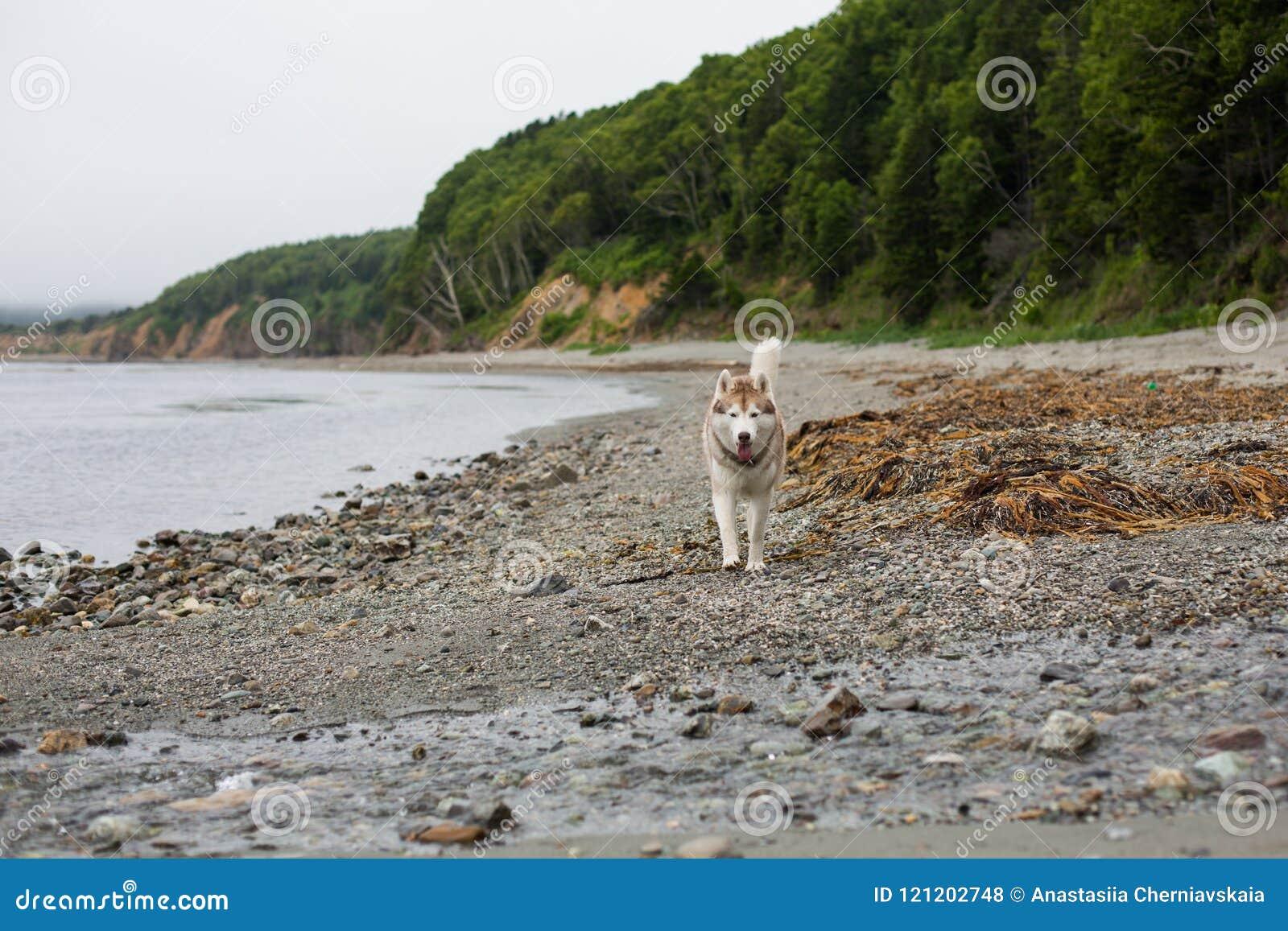 Imagem do cão bege e branco bonito do cão de puxar trenós Siberian que corre na praia no beira-mar