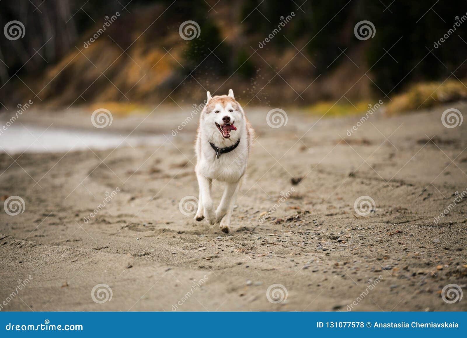 Imagem do cão ronco Siberian feliz e engraçado do bege e o branco que corre na praia no beira-mar no outono