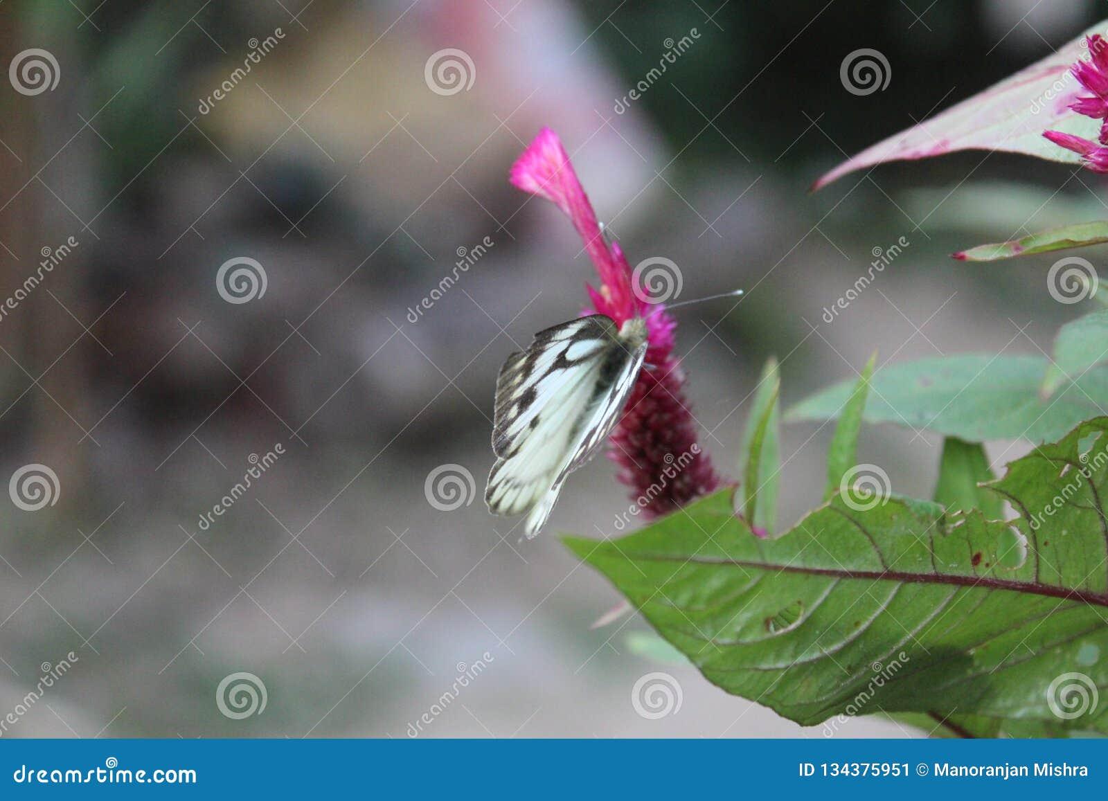 Imagem do close-up de uma borboleta branca pioneira descascada da alcaparra branca ou indiana que descansa na flor cor-de-rosa