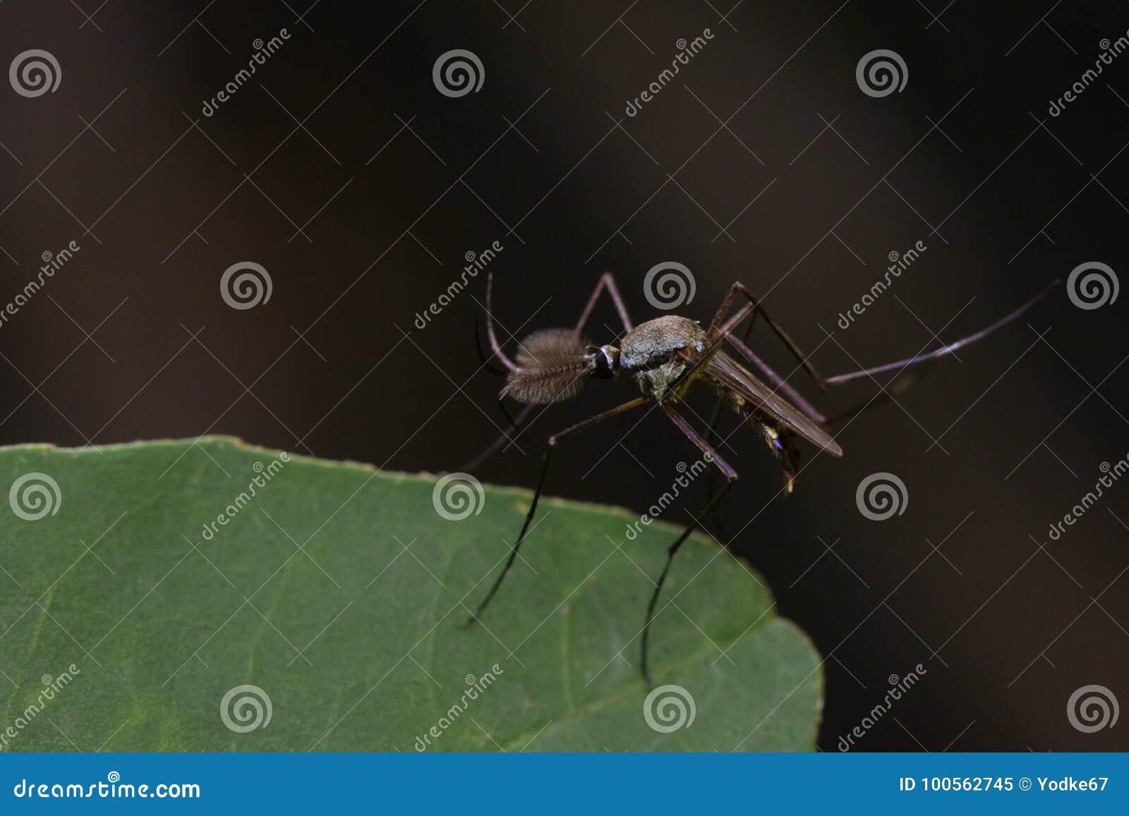 Imagem do mosquito selvagem nas folhas verdes inseto animal