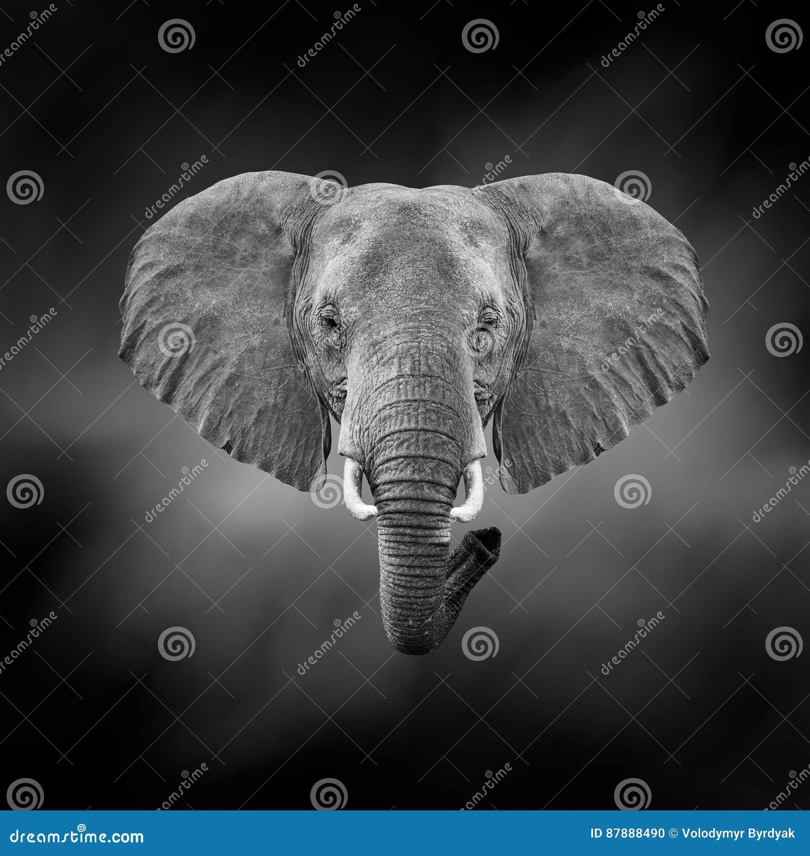 Imagem preto e branco de um elefante