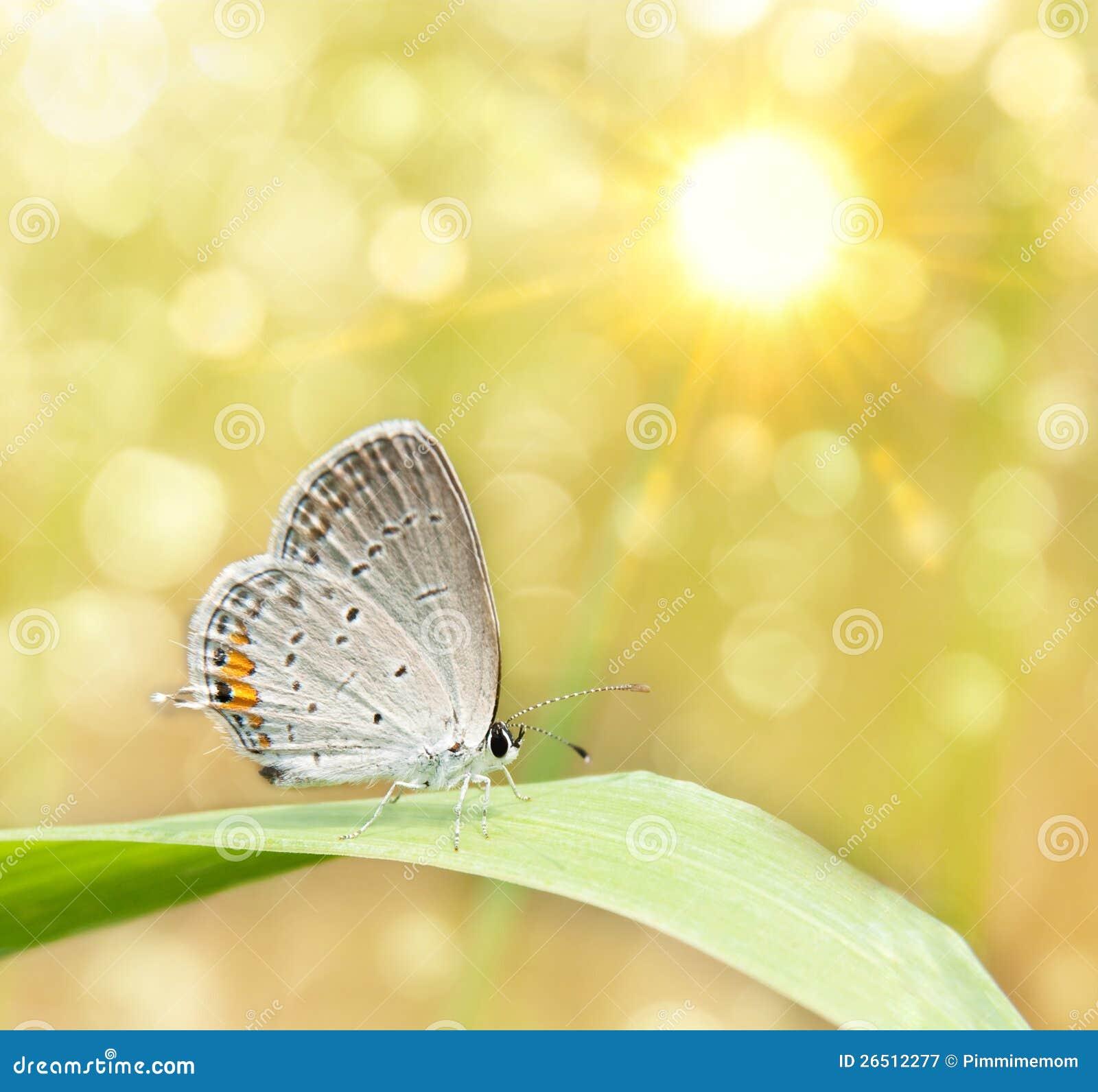 Imagem sonhadora de uma borboleta de Hairstreak cinzenta