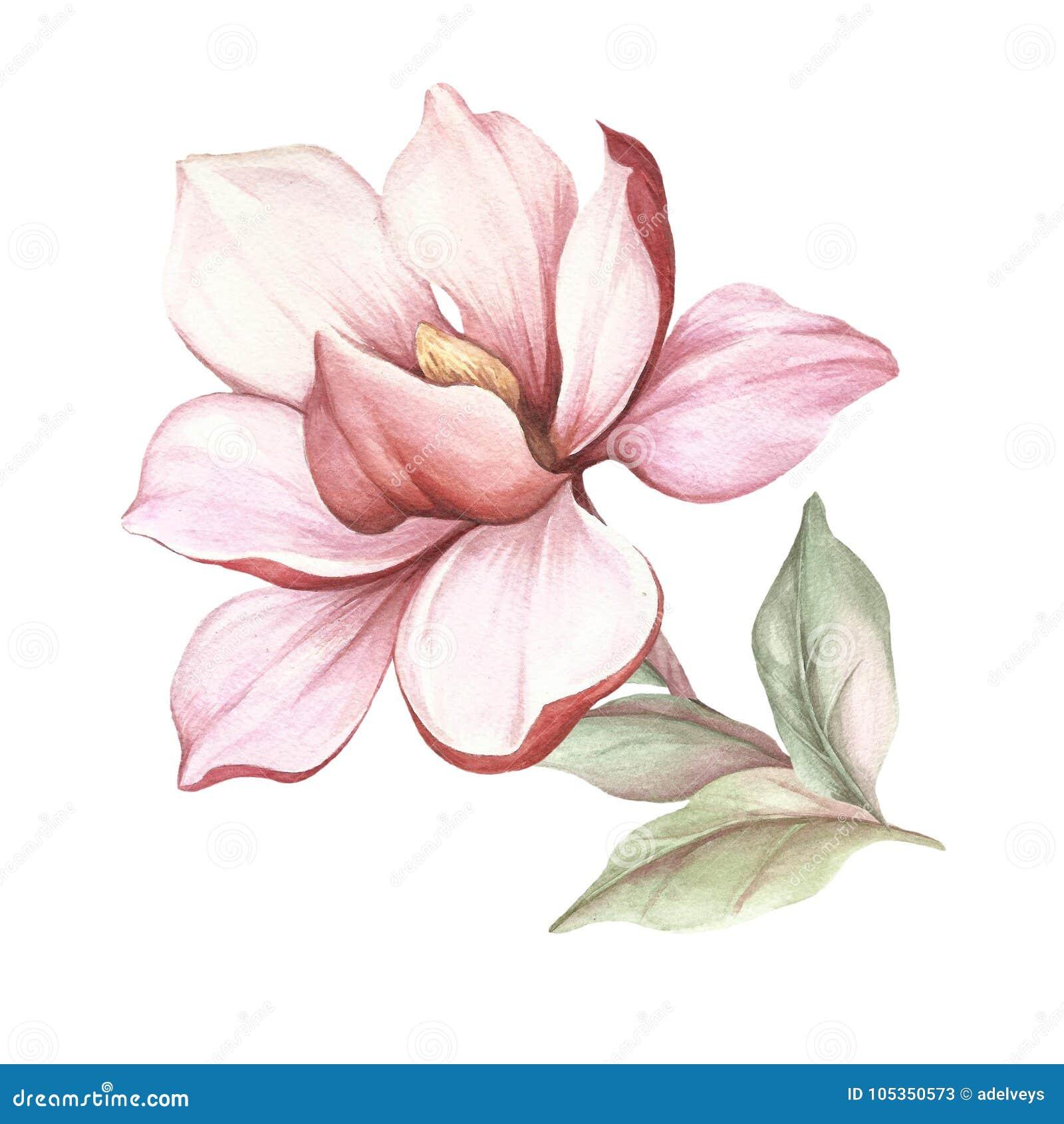 Imagen de la rama floreciente de la magnolia Ilustración de la acuarela