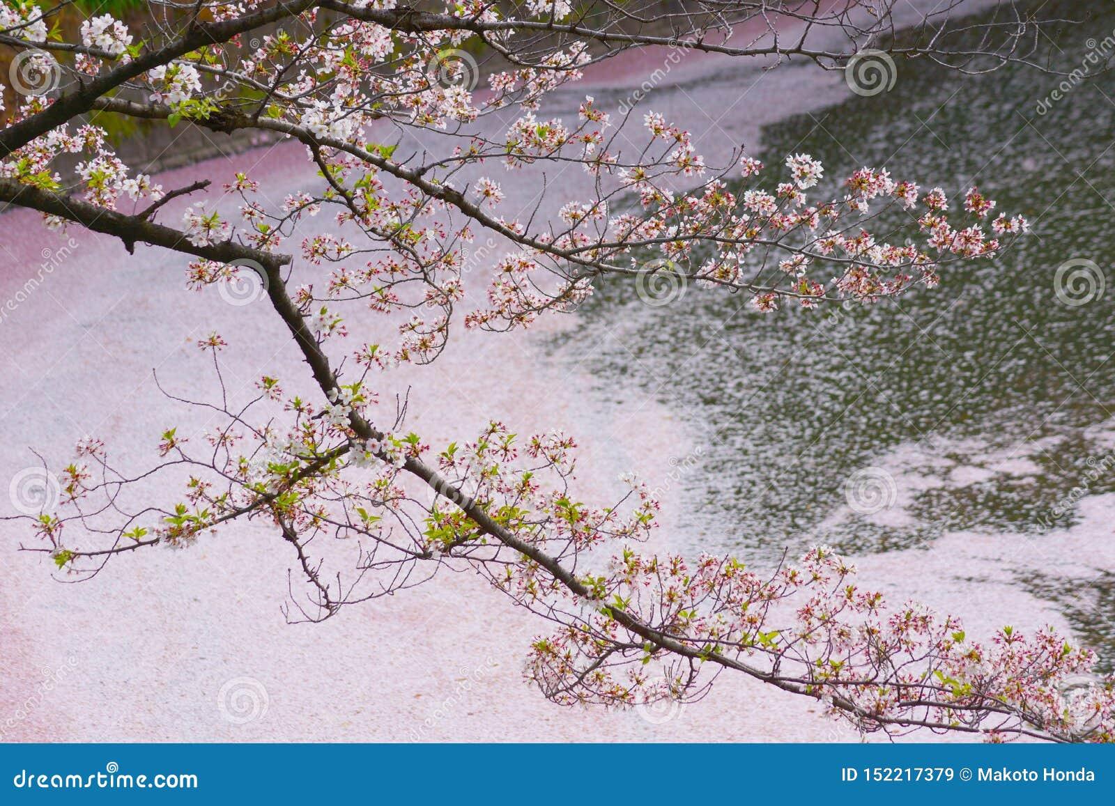 Imagen de Sakura de Chidorigafuchi