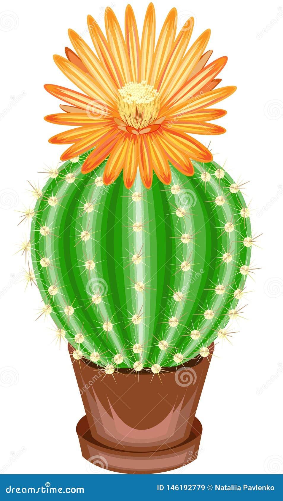 Imagen del color Planta Potted en un crisol El cactus verde es esf?rico con los tub?rculos cubiertos con las espinas dorsales Mam