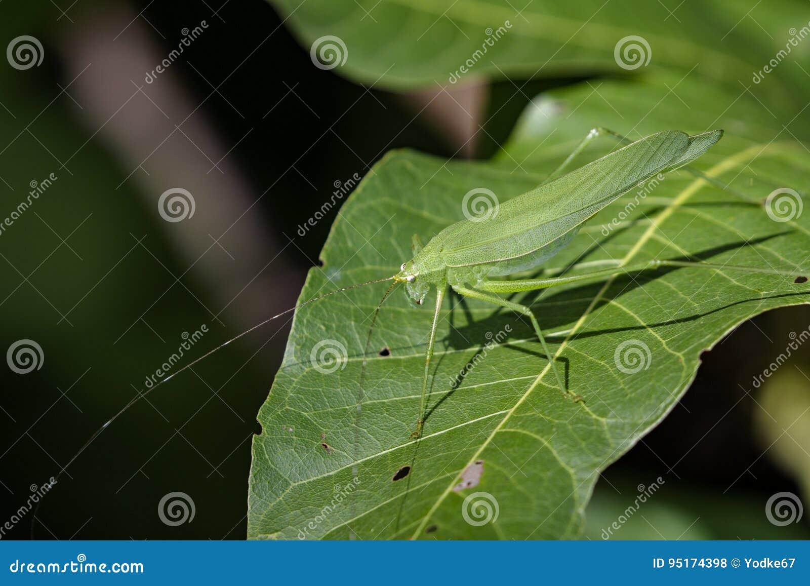 Imagen Del Saltamontes En Las Hojas Verdes Animal Del Insecto Foto ...