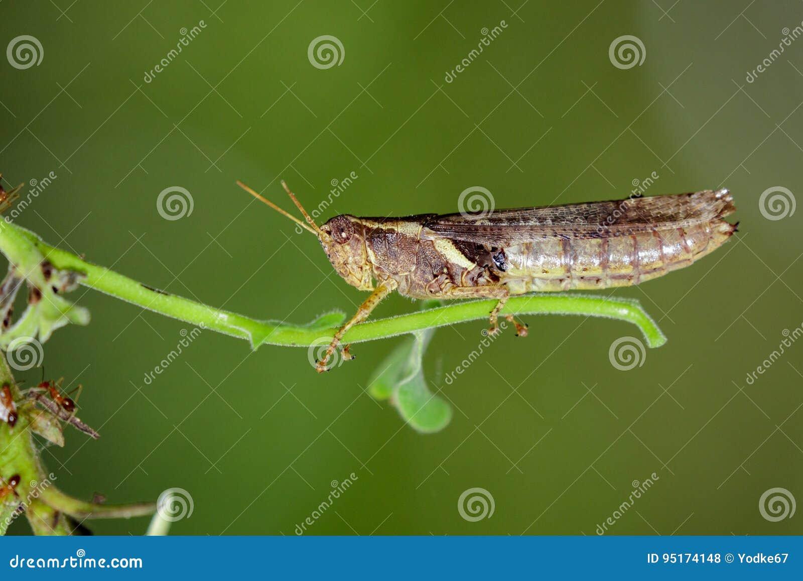 Imagen Del Saltamontes Rufo-legged En Fondo De La Naturaleza Insecto ...