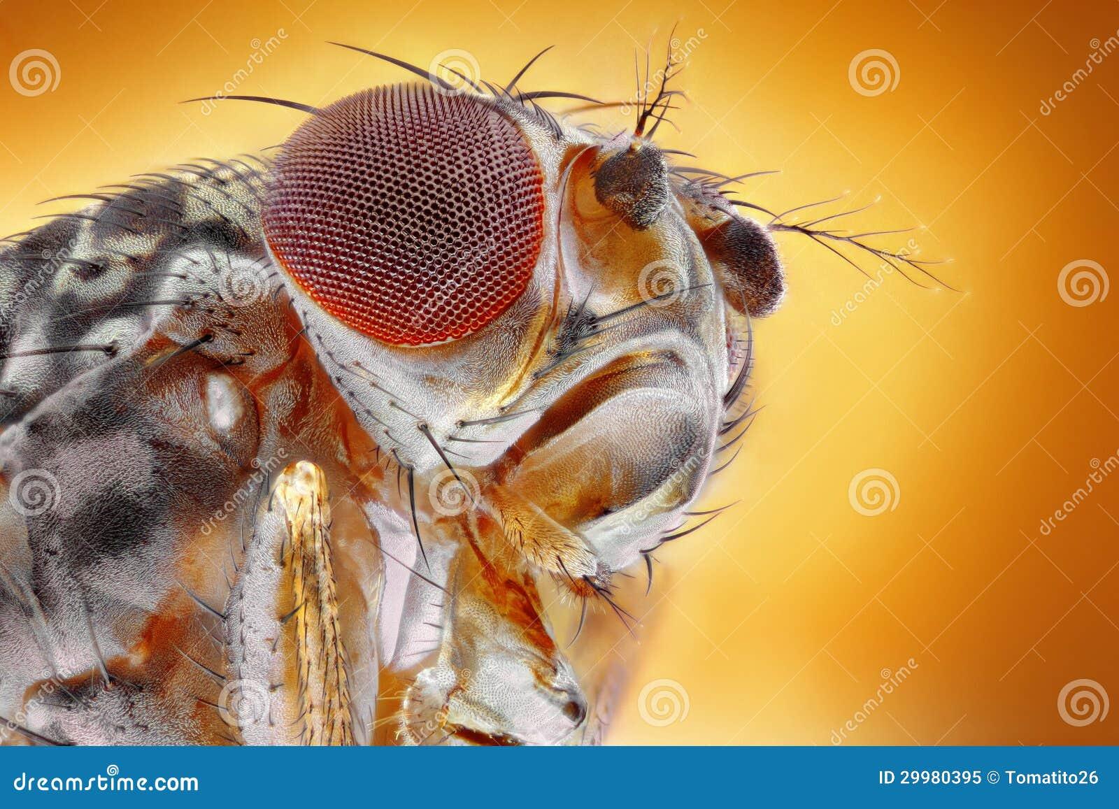 Macro de la mosca del vinagre