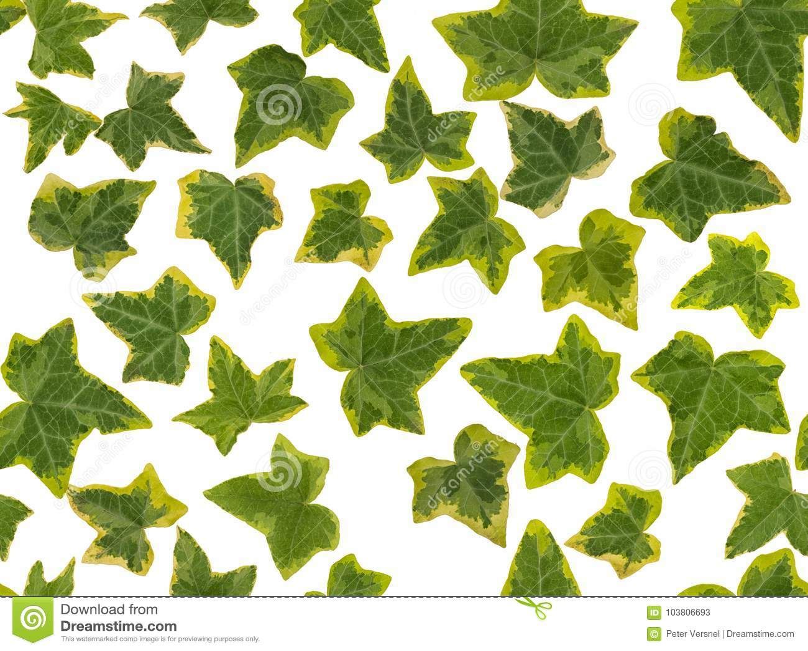 hojas hiedra amarillas