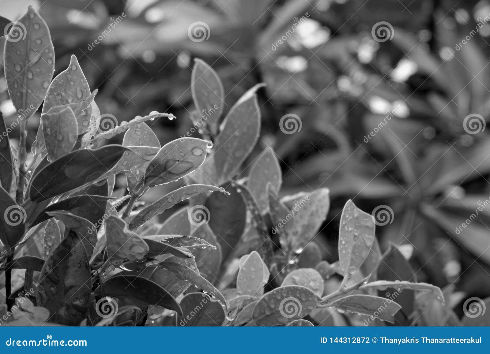 Imagens preto e branco das folhas após a chuva