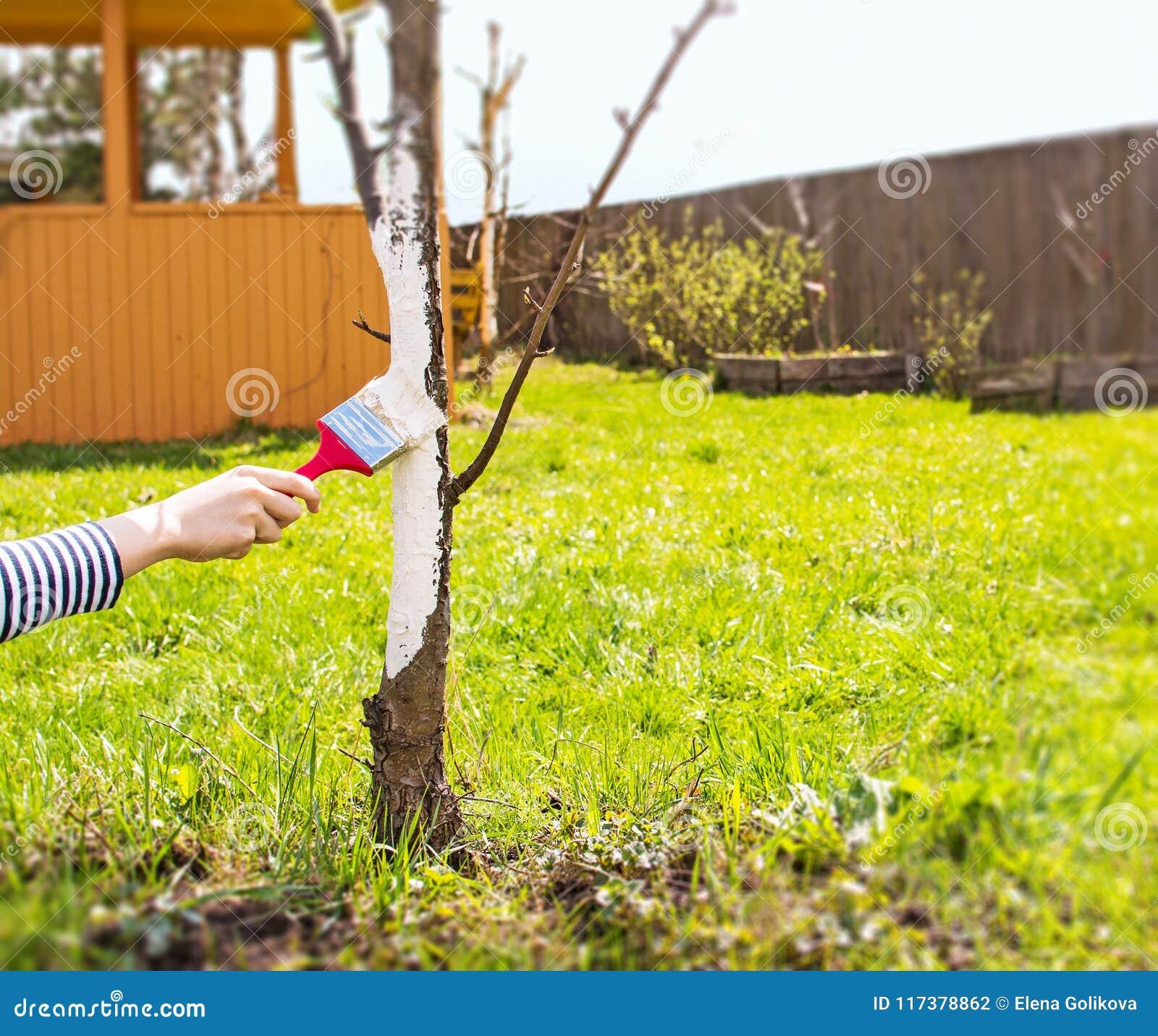 Prezzi Alberi Da Giardino imbiancando degli alberi da frutto in primavera cura del