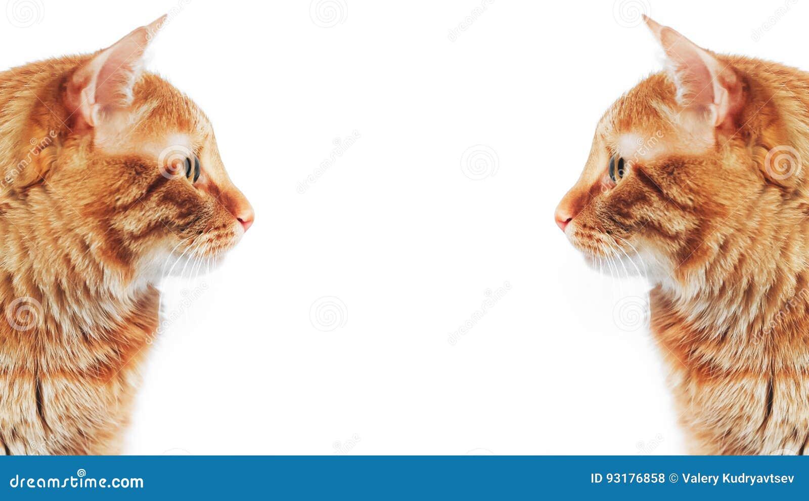 Imbirowy Czerwony kot