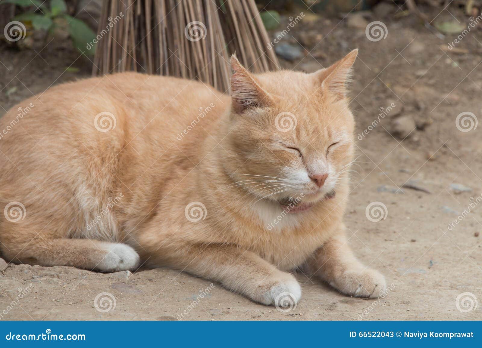 Imbirowy kot