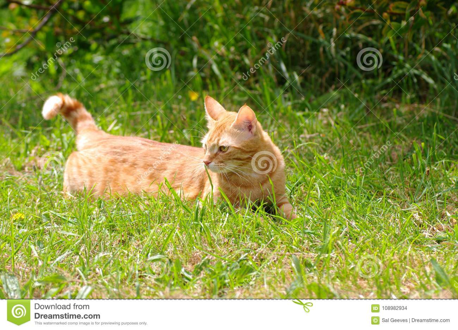Imbirowy kot w polu, patrzeje sowizdrzalski