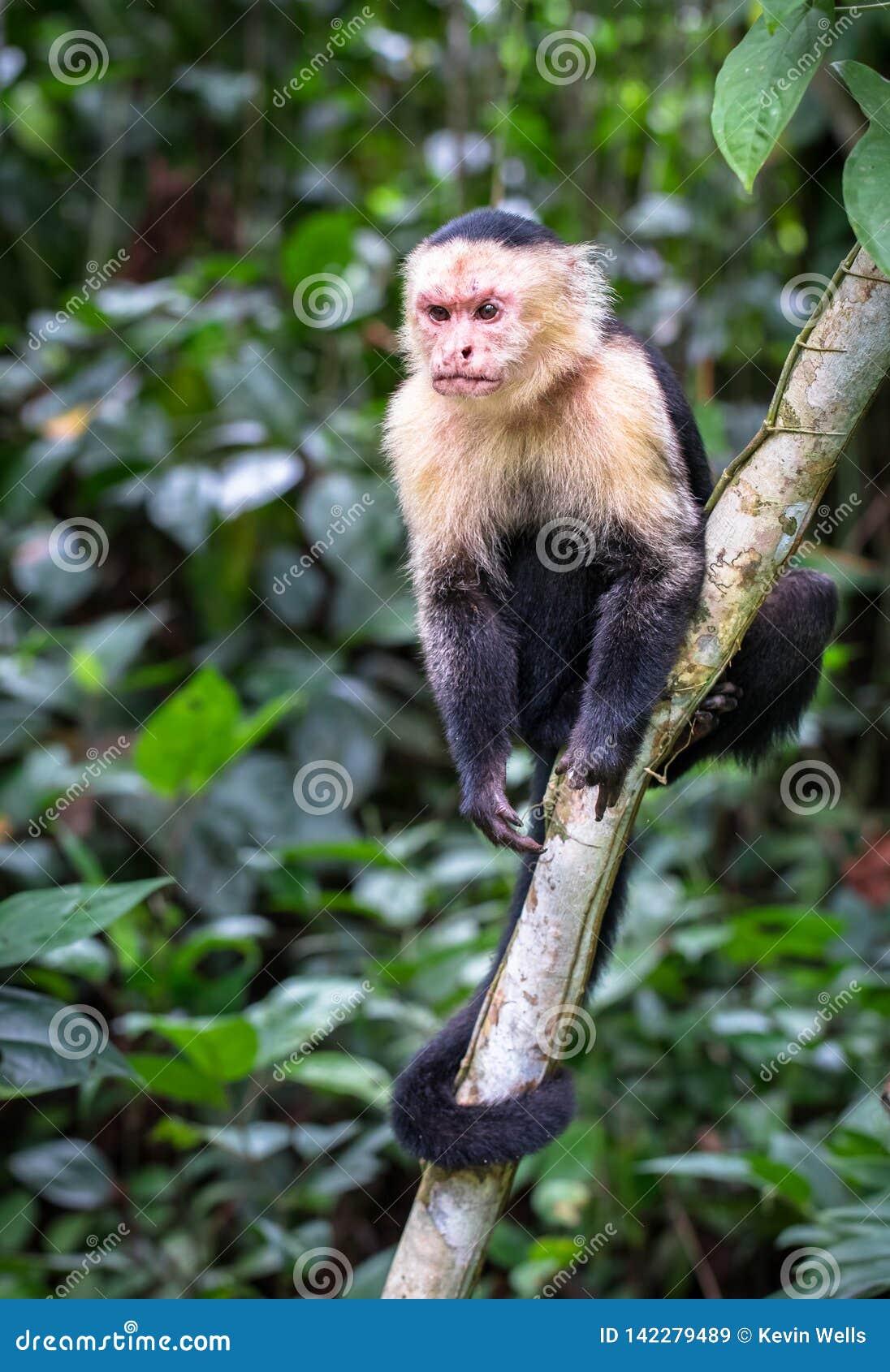 Imitador branco-enfrentado panamense do cebus do capuchin