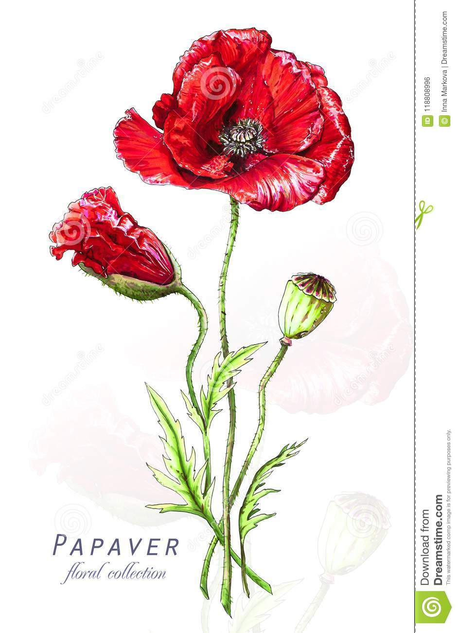 f8fa6c81f0c65 Botanical Illustration. Postcard Card With Blossoming Red Poppy ...