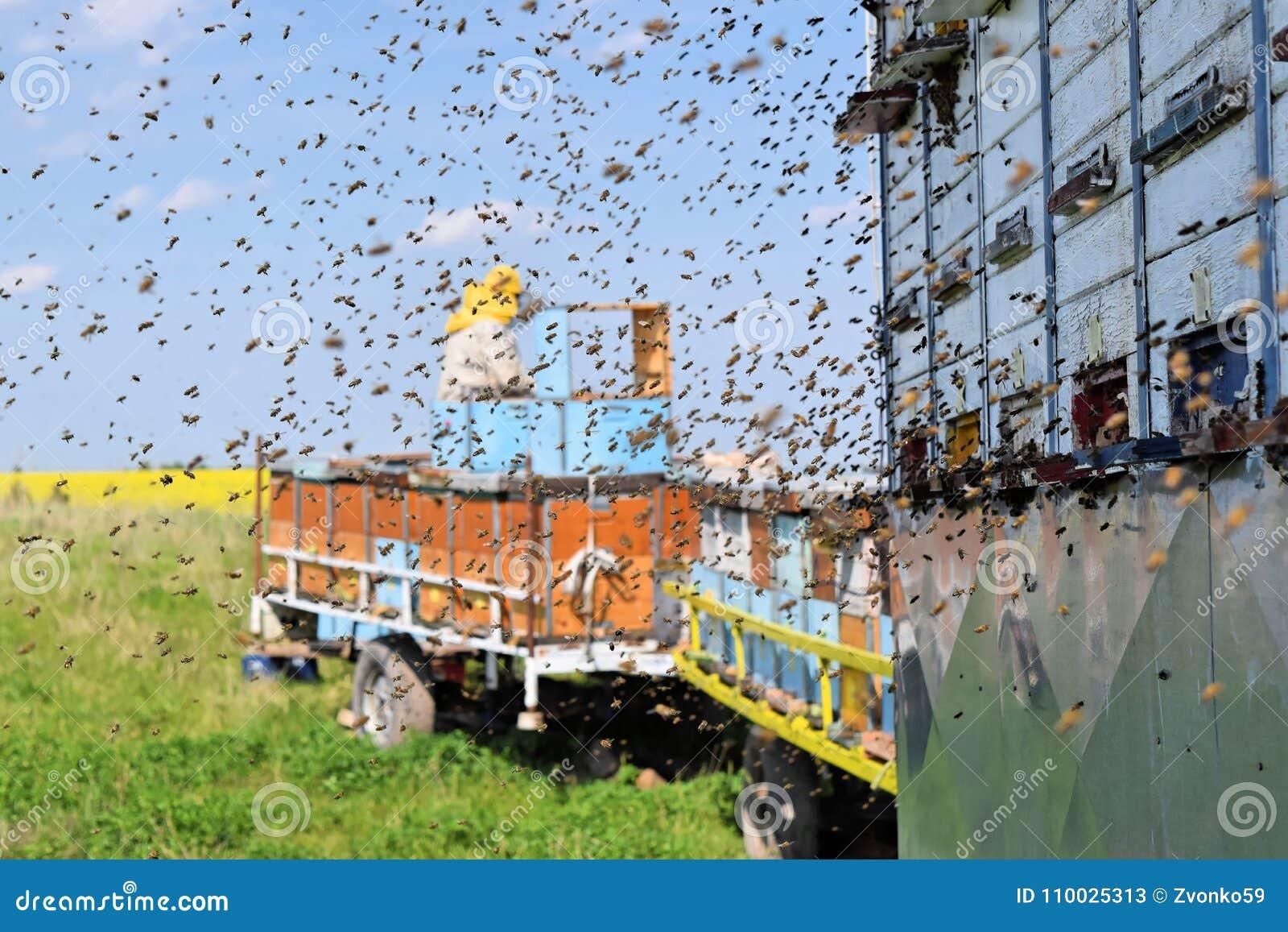 Imker en zijn mobiele bijenkorven