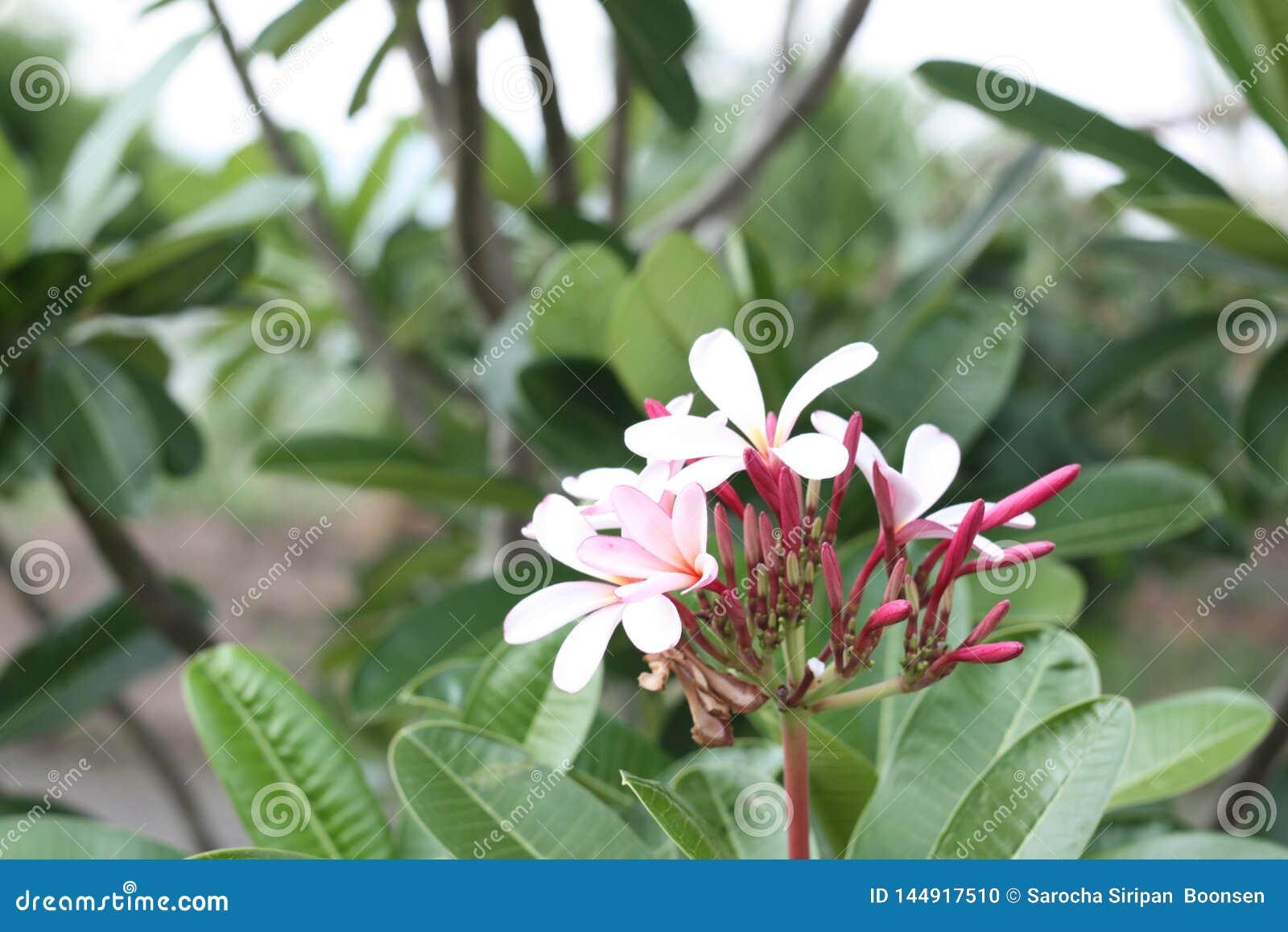 Immagine alta vicina dell bei fiori sbalorditivi di plumeria